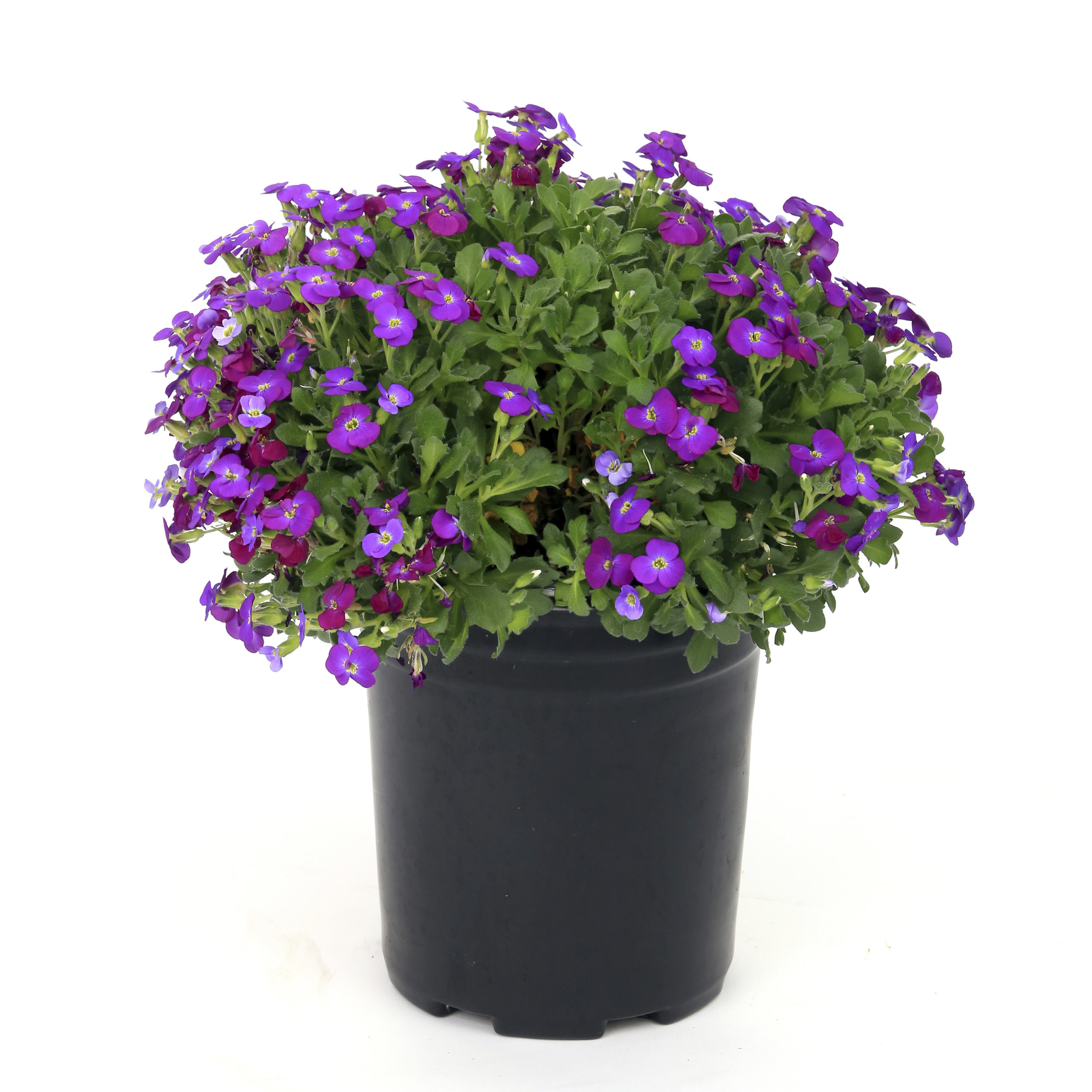 HR_Vegetative_Aubrieta_Axcent™_Axcent™_Deep_Purple_Imp._70045536.jpg