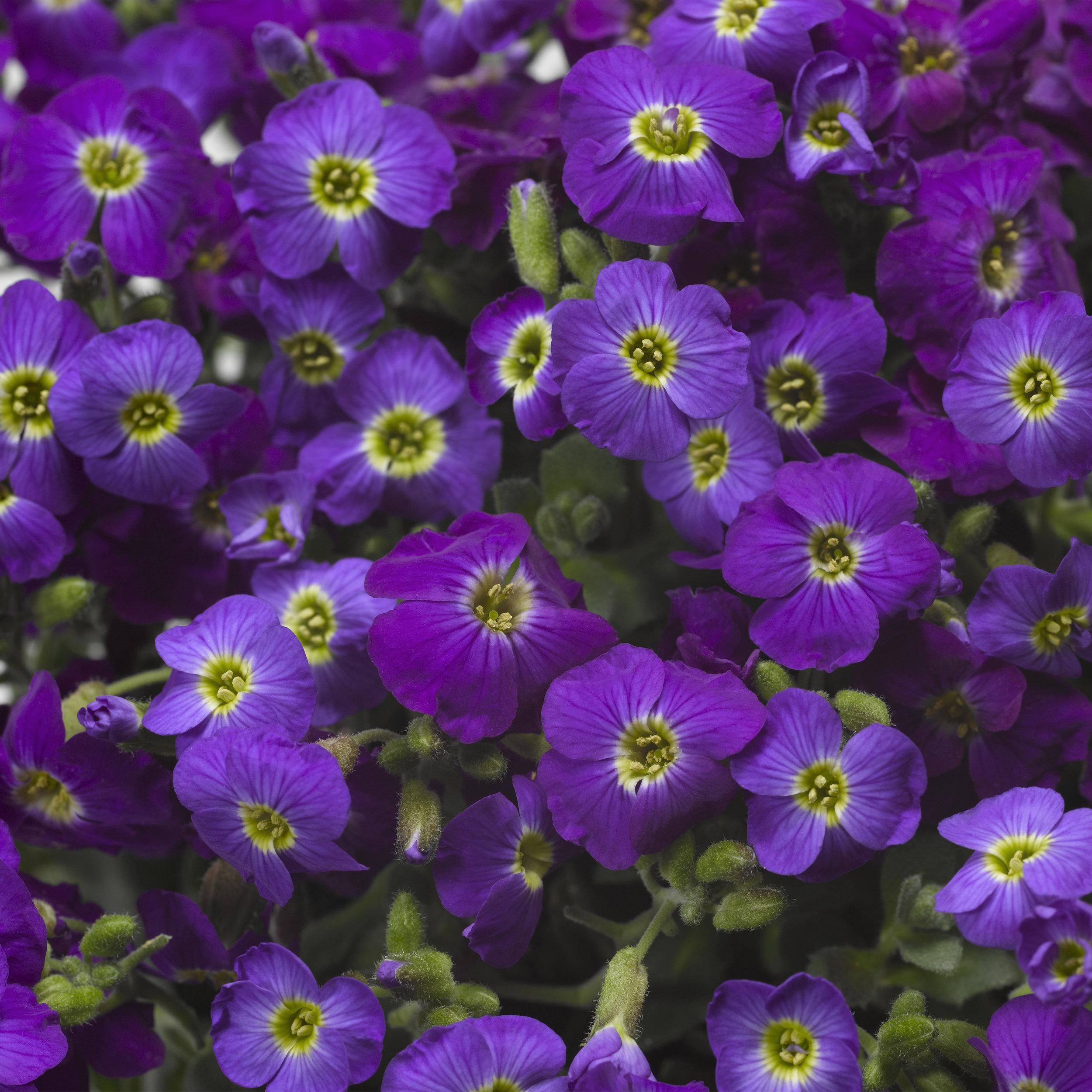 HR_Vegetative_Aubrieta_Axcent™_Axcent™_Violet_with_Eye_Imp._70028026.jpg