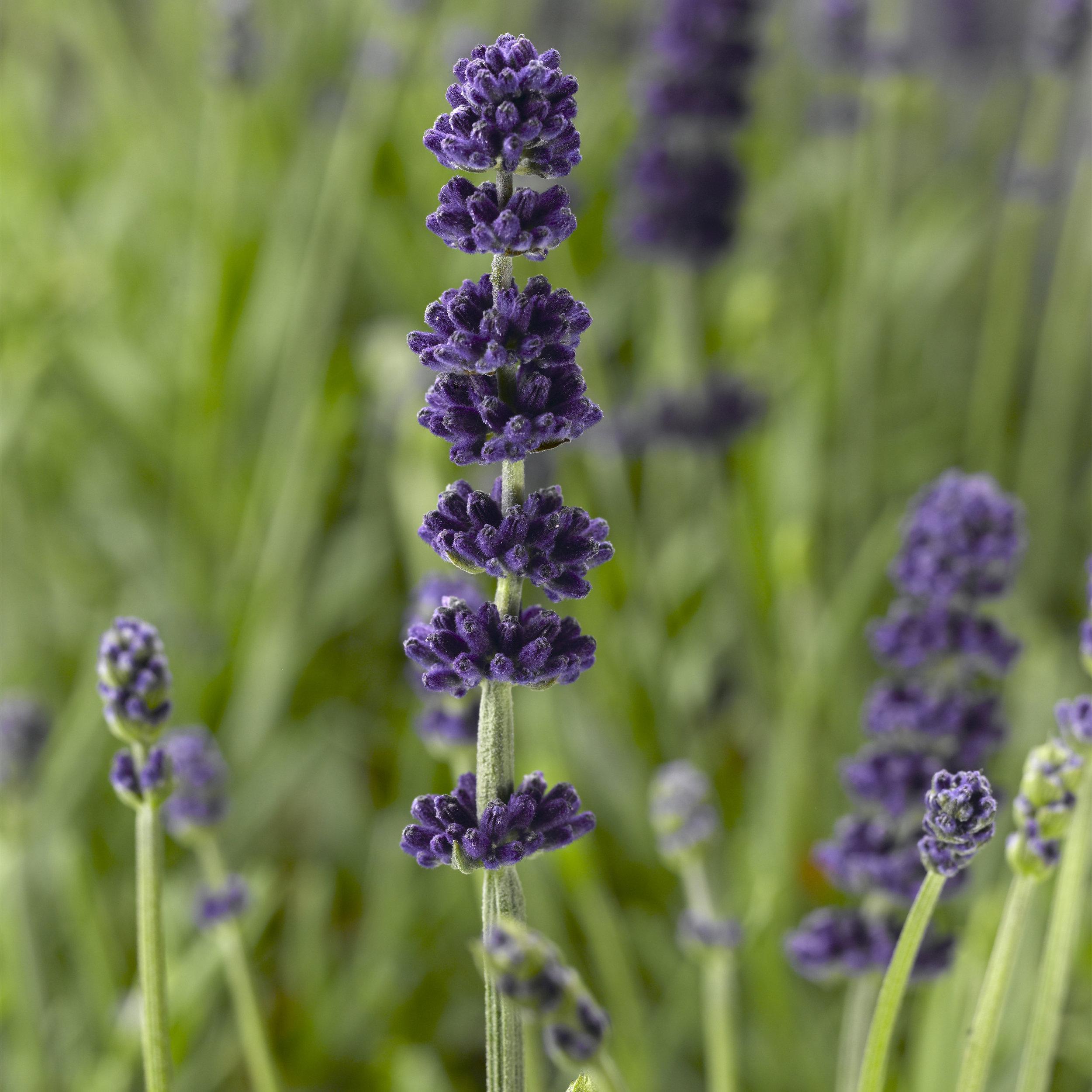 HR_Vegetative_Lavandula_Aromatico™_Aromatico™_Blue_Imp._70051450.jpg