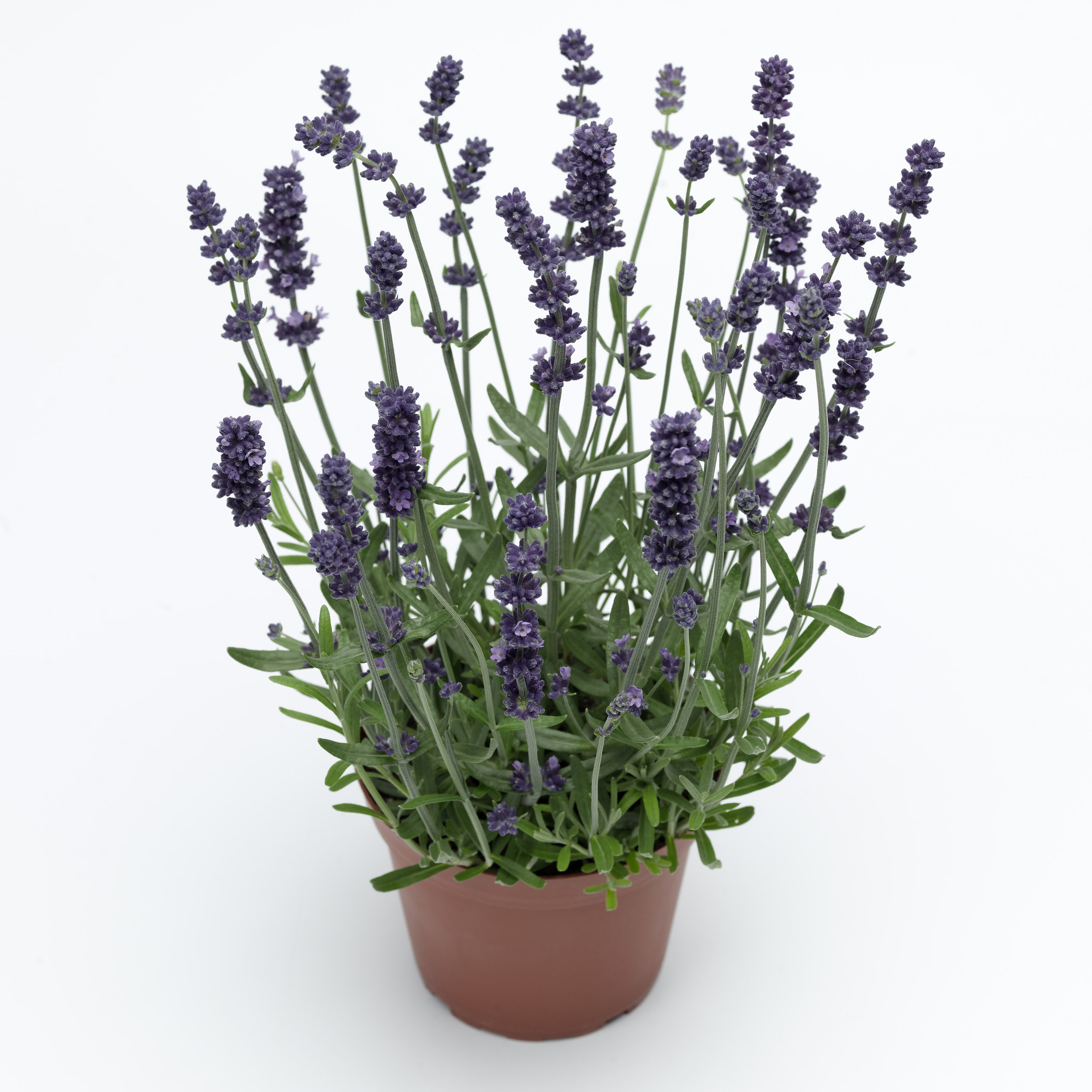 HR_Vegetative_Lavandula_Sentivia™_Sentivia™Early_Blue_70019920_1.jpg