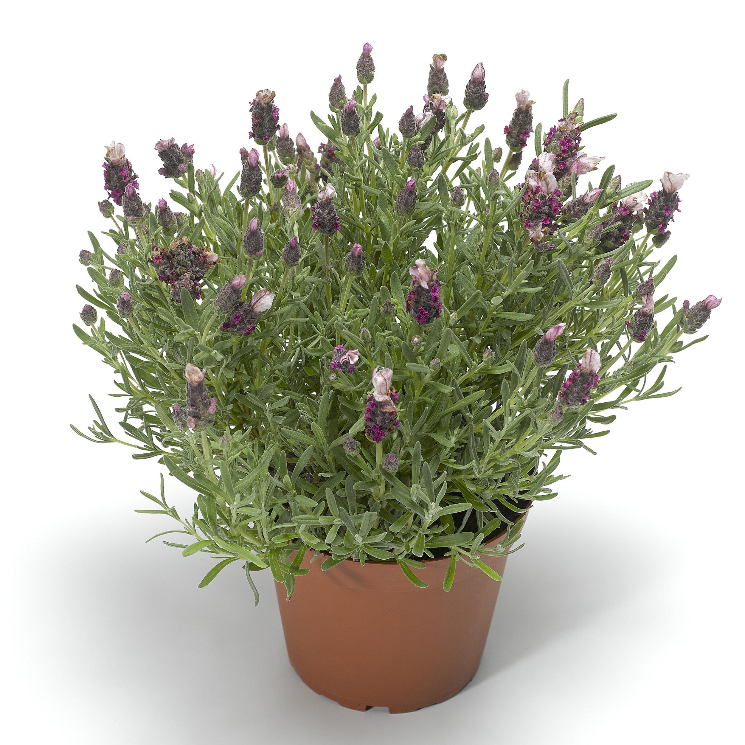 HR_Seed_Lavender_Castilliano_2.0™_Castilliano_2.0™_Rose_70019939_1.jpg