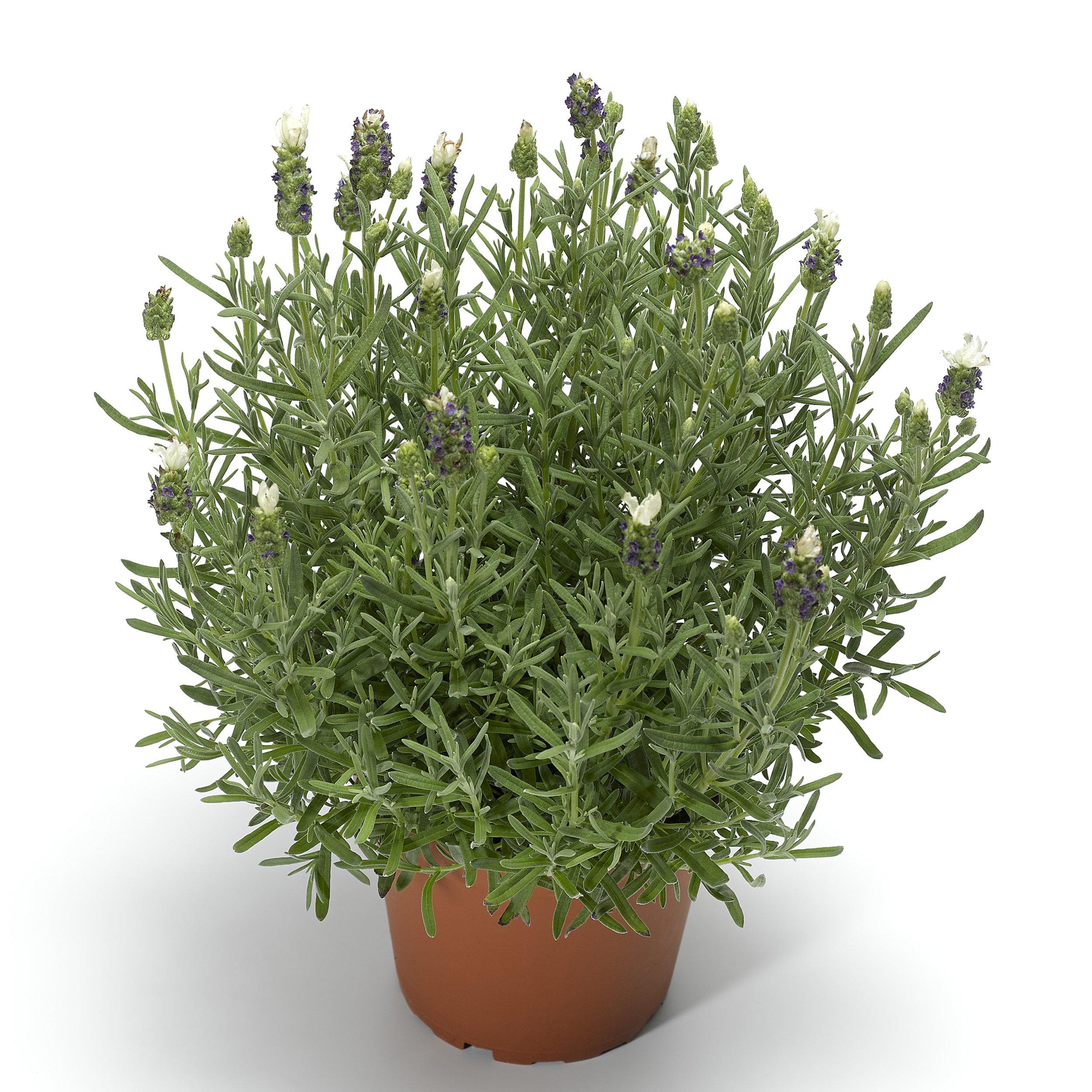 HR_Seed_Lavender_Castilliano_2.0™_Castilliano_2.0™_White_70048703.jpg