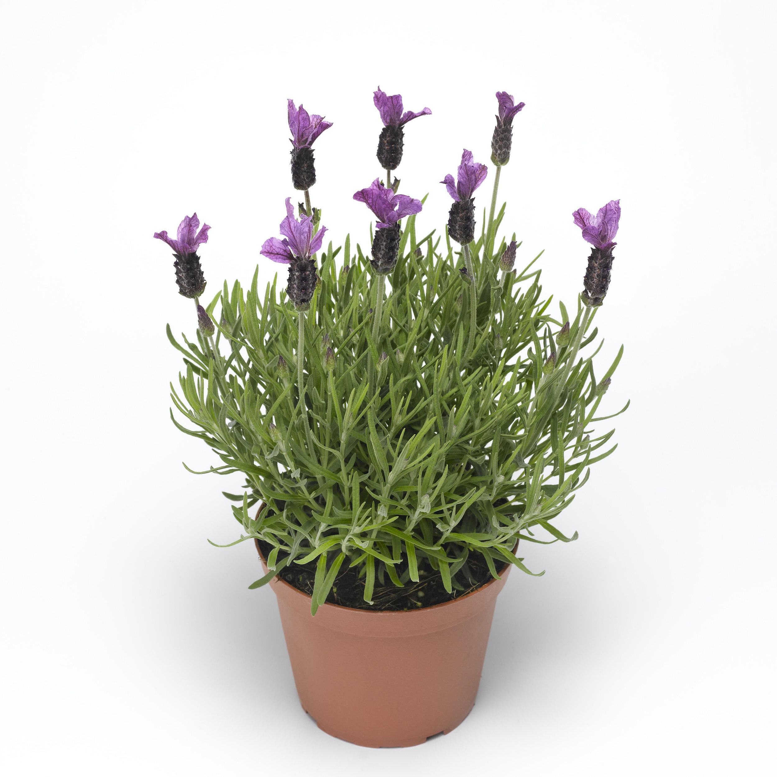 HR_Vegetative_Lavandula_Javelin_Forte™_Javelin_Forte™_Purple_70051470.jpg