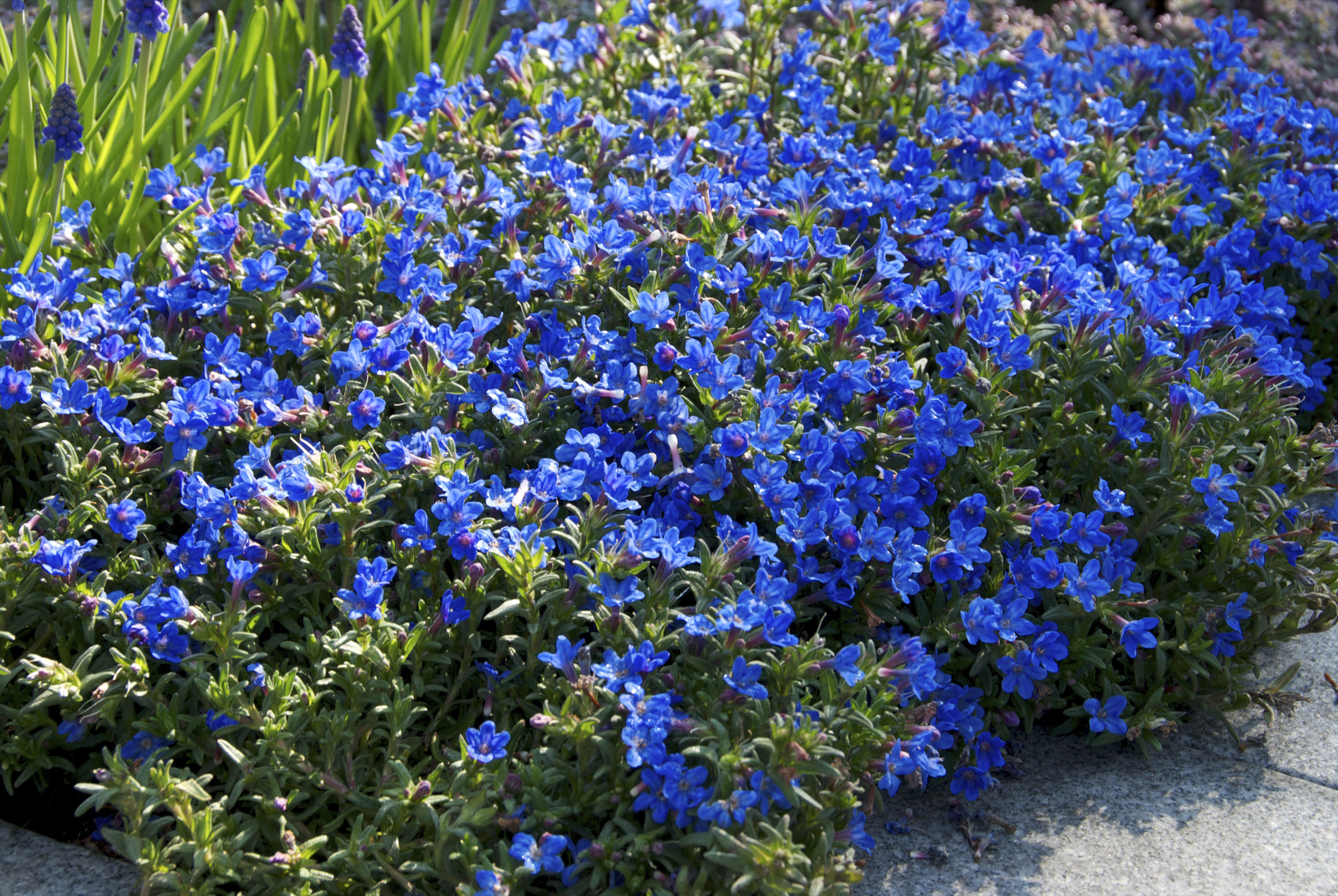 Lithodora Heavenly Blue.jpg