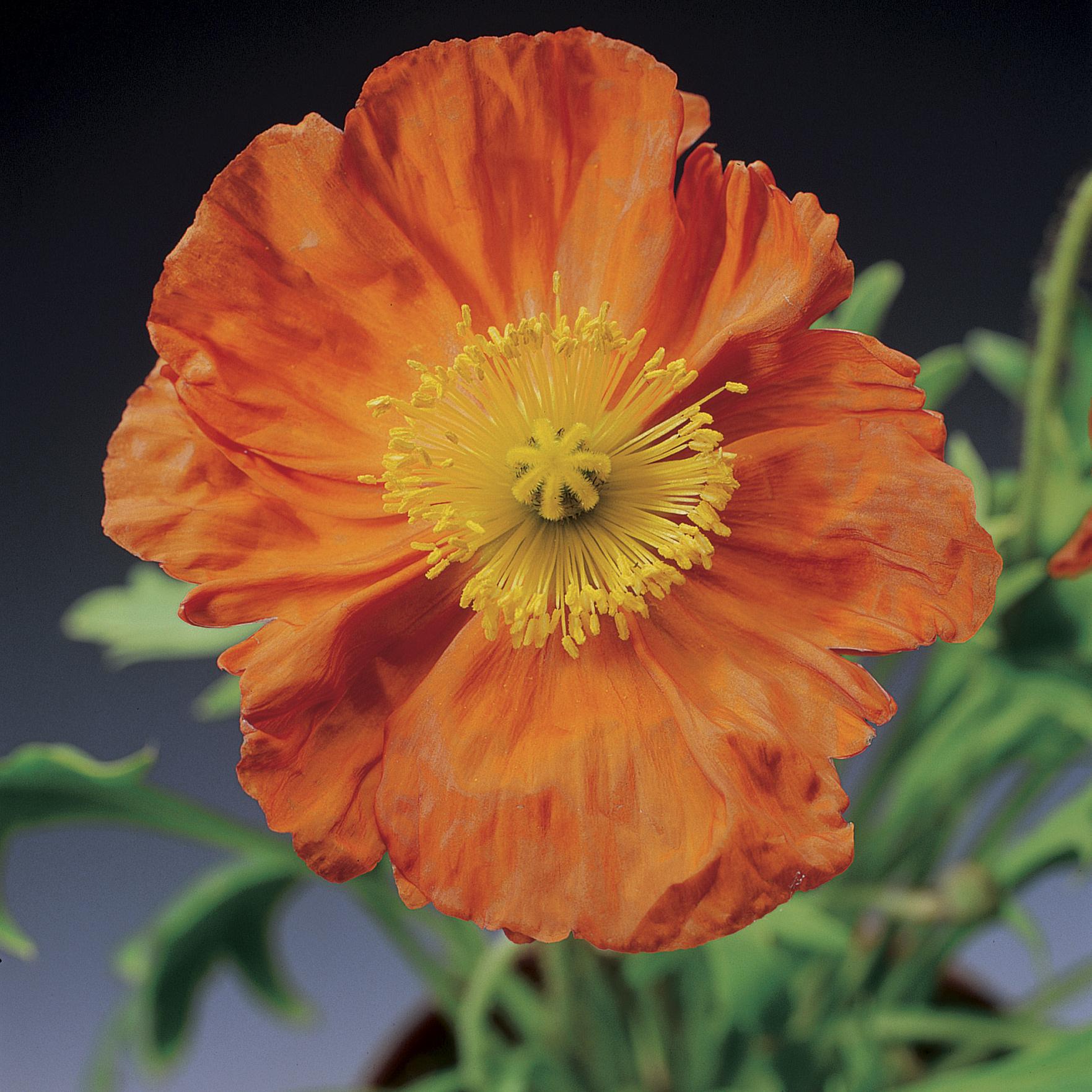 HR_Seed_Papaver_Pulchinella__Pulchinella__Orange_70000834_1.jpg