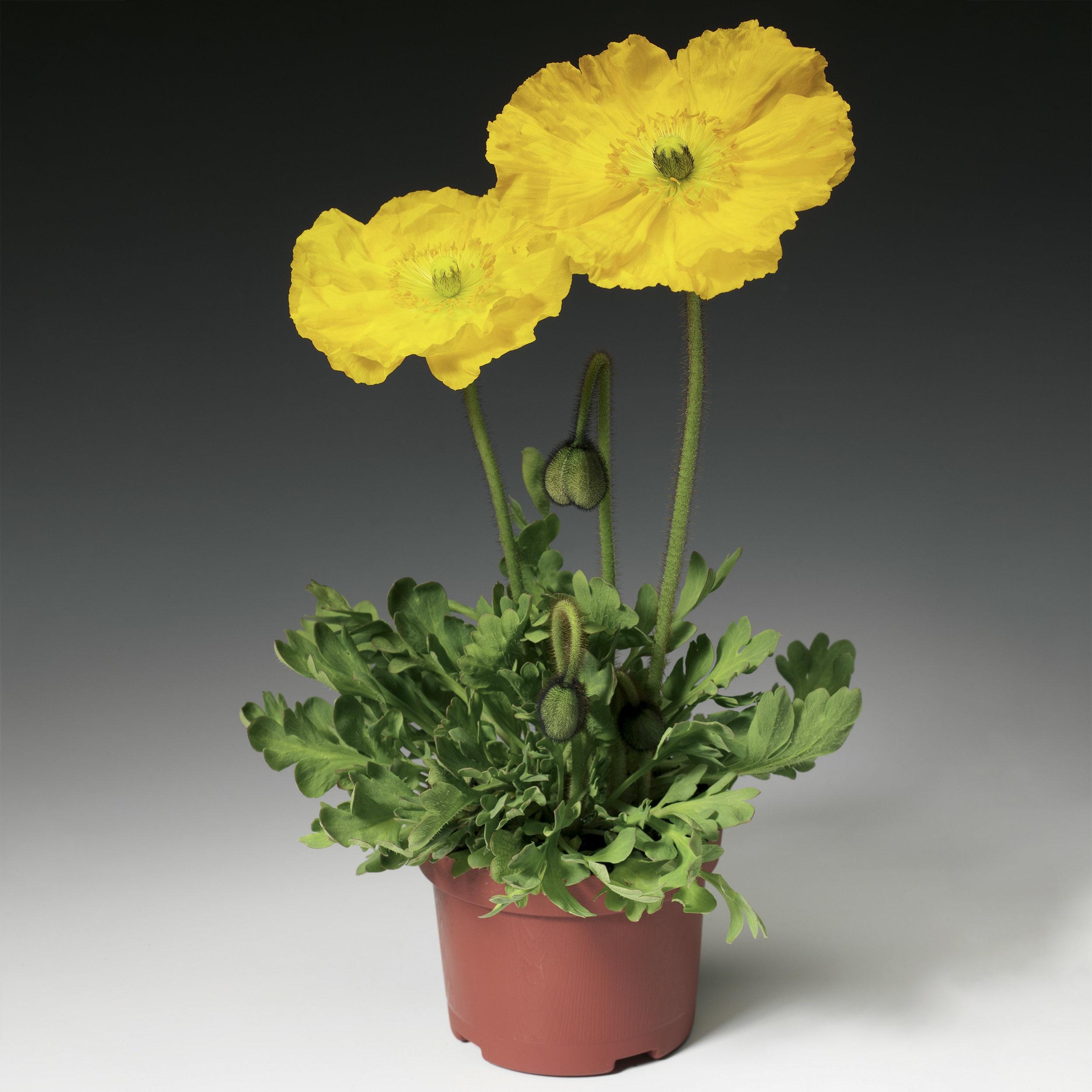 HR_Seed_Papaver_Pulchinella__Pulchinella__Yellow_70000833.jpg