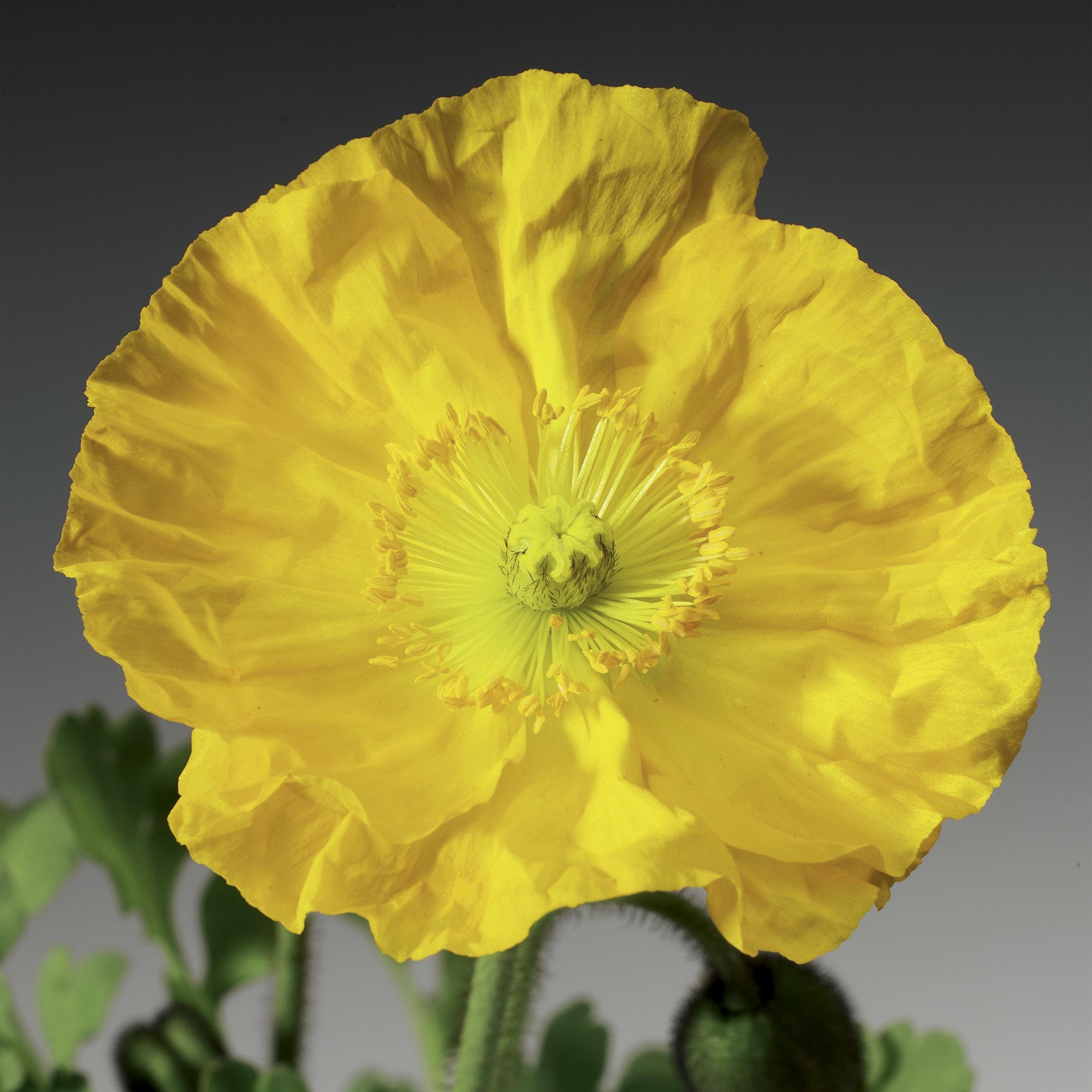 HR_Seed_Papaver_Pulchinella__Pulchinella__Yellow_70000833_1.jpg