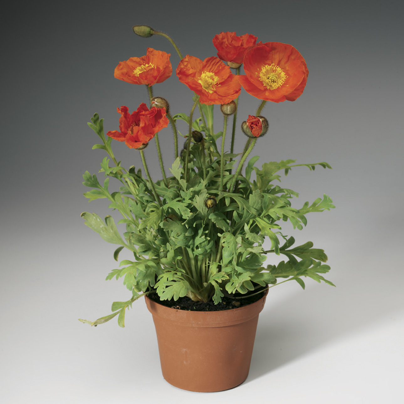 HR_Seed_Papaver_Spring_Fever®_Spring_Fever®_Orange_70004238.jpg