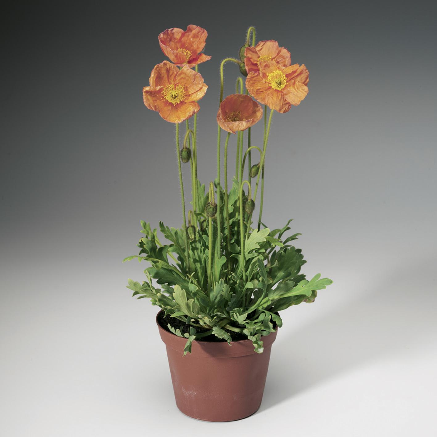 HR_Seed_Papaver_Spring_Fever®_Spring_Fever®_Rose_70004242.jpg