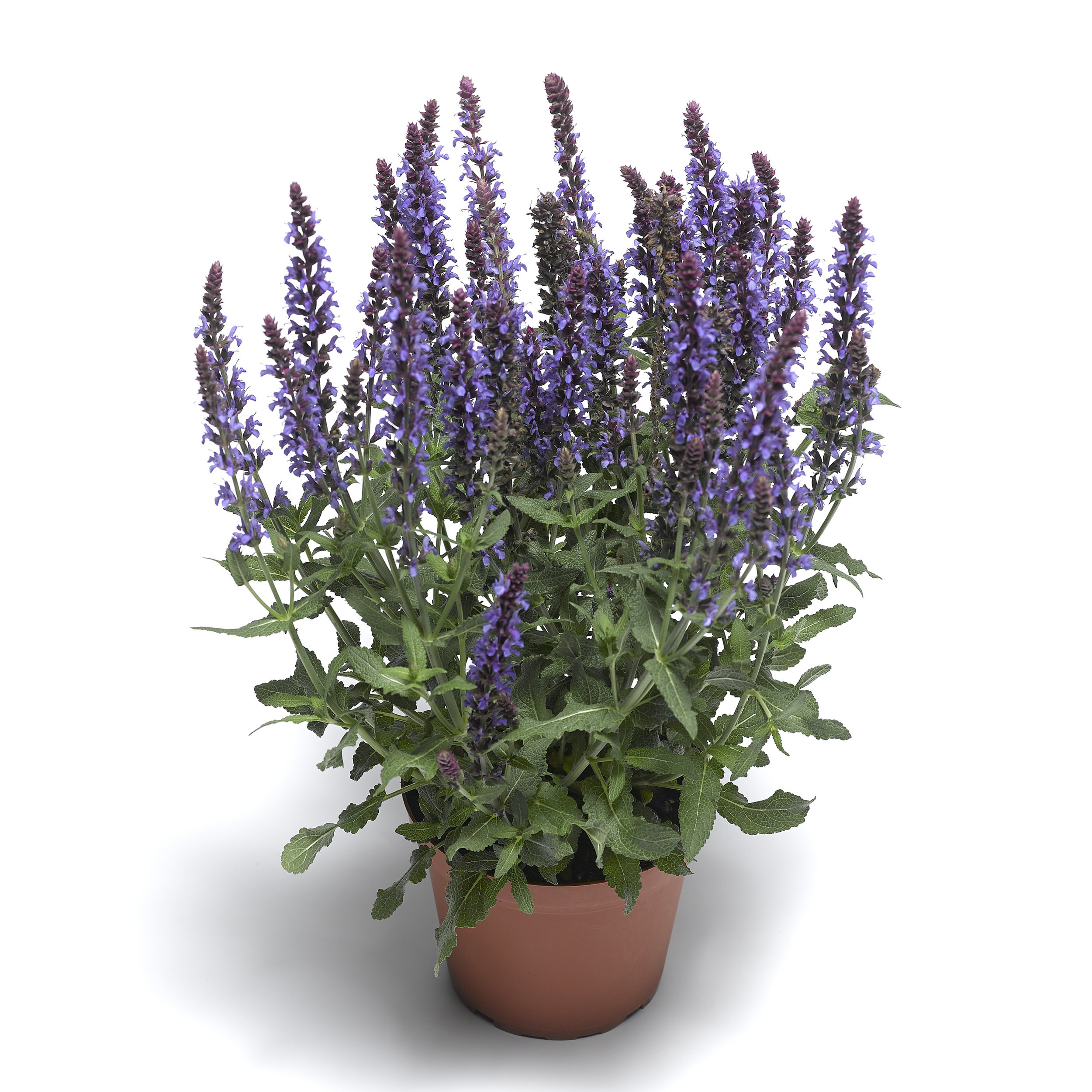 HR_Vegetative_Salvia_Bordeau™_Bordeau™_Compact_Sky_Blue_70054528_1.jpg