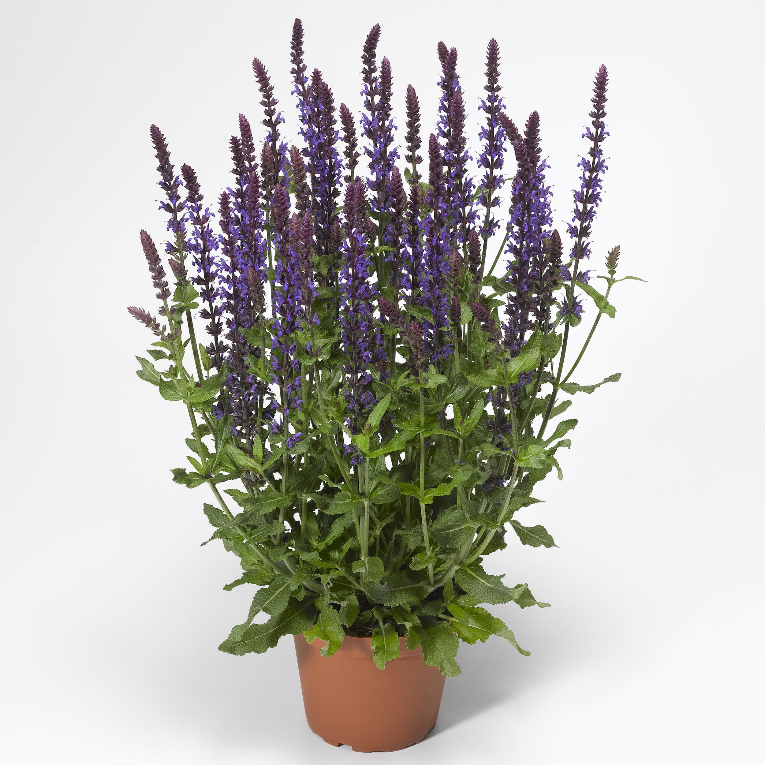 HR_Vegetative_Salvia_Bordeau™_Bordeau™_Deep_Blue_70020739_1.jpg
