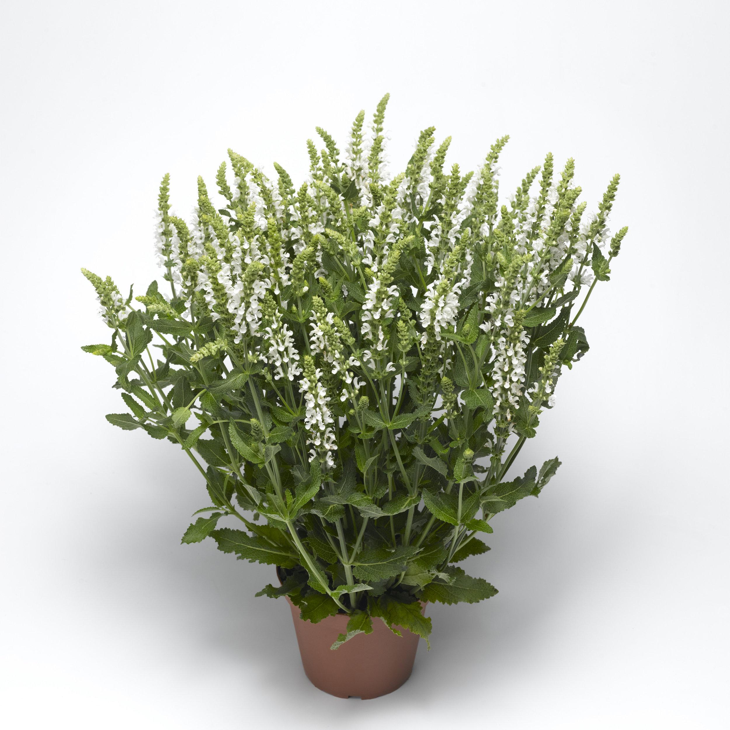 HR_Vegetative_Salvia_Bordeau™_Bordeau™_White_70035625_2.jpg