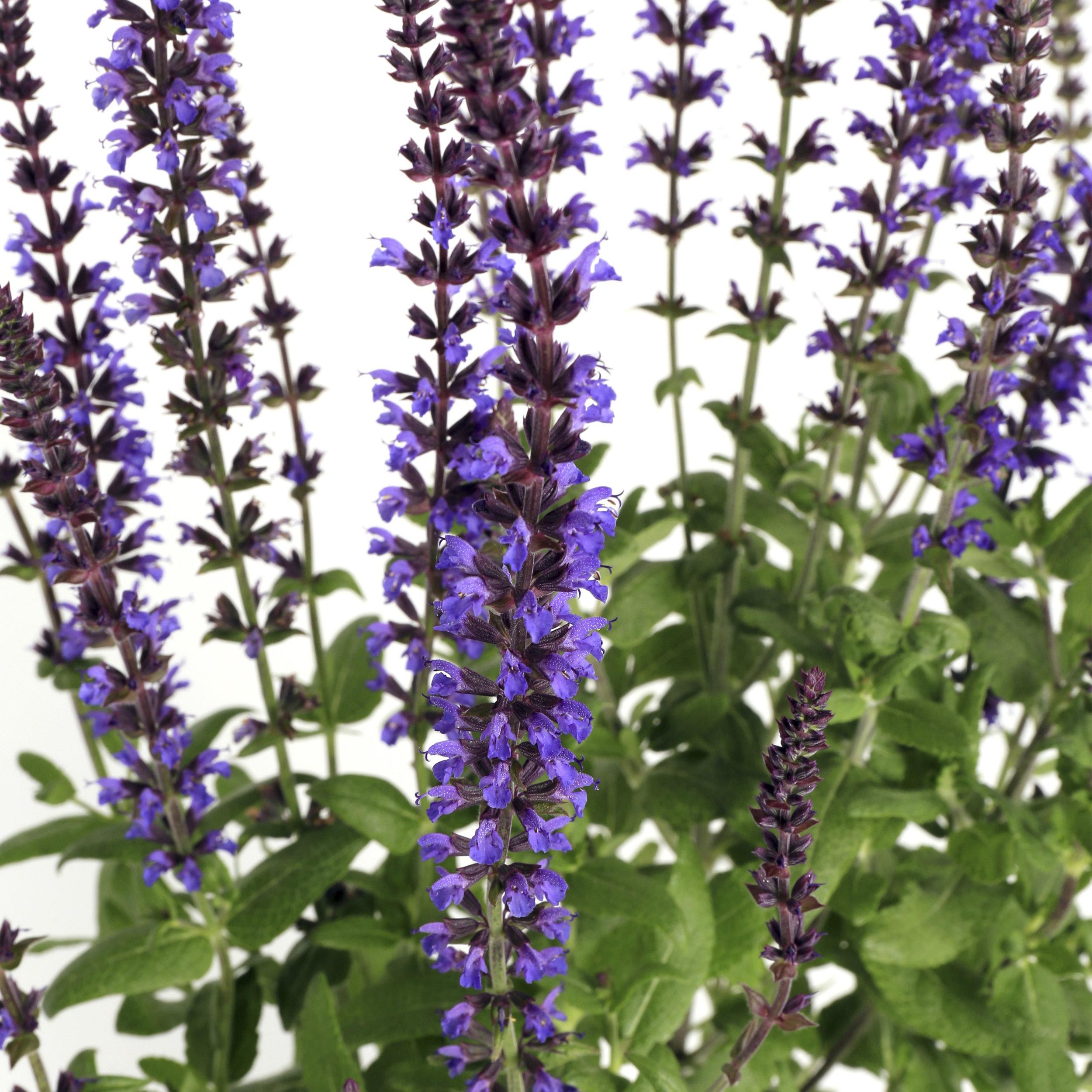 HR_Seed_Salvia_Merleau®_Merleau®_Blue_Compact_70007976_1.jpg