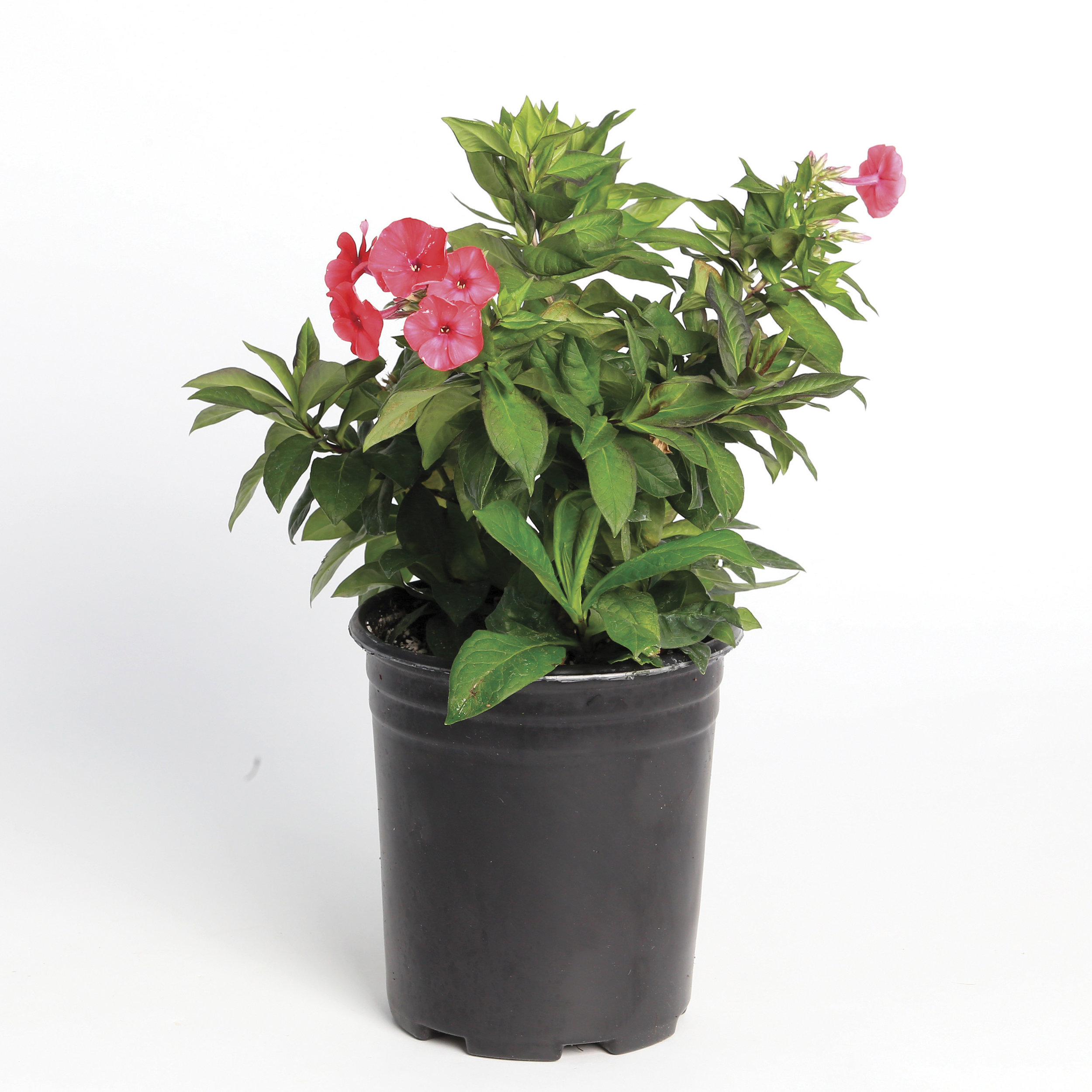 HR_Vegetative_Phlox_Peacock__Peacock__Cherry_Red_70004219.jpg