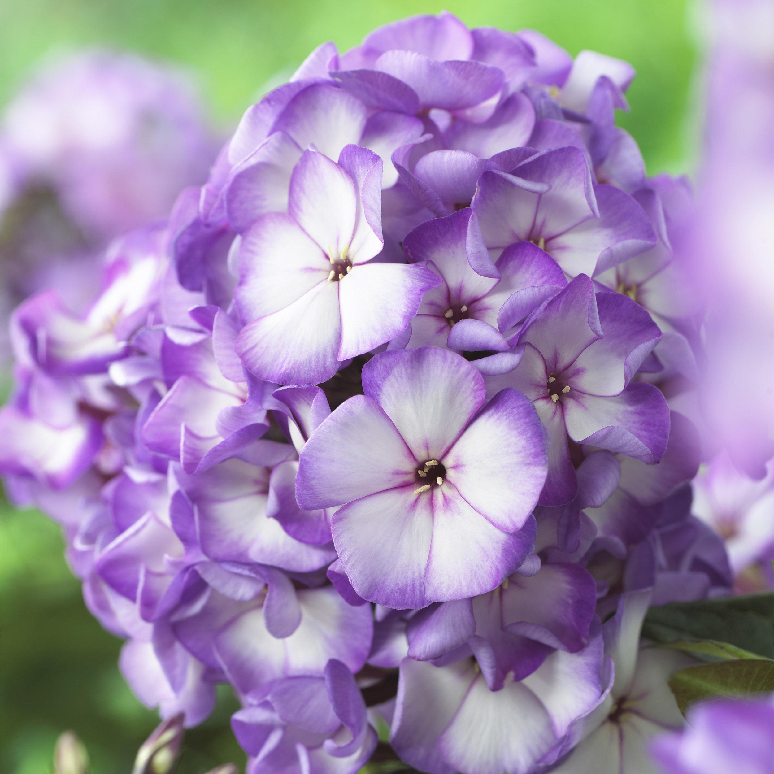 HR_Vegetative_Phlox_Sweet_Summer_Sweet_Summer_Fantasy__Purple_Bicolor_70028302_1.jpg