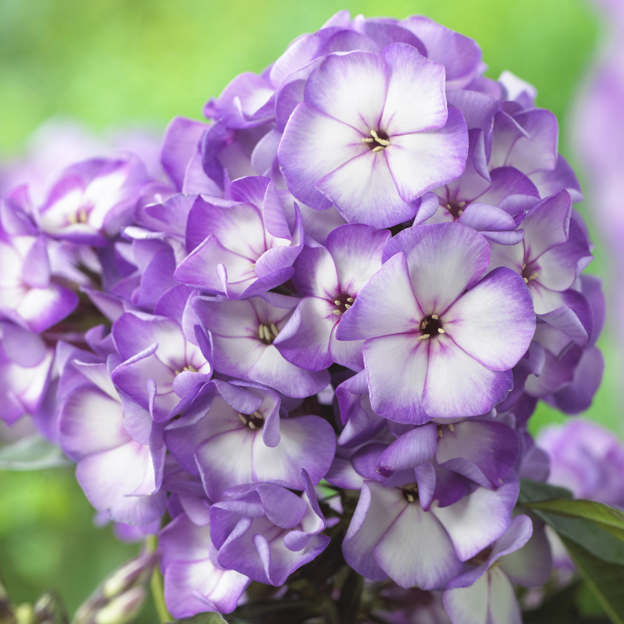 HR_Vegetative_Phlox_Sweet_Summer_Sweet_Summer_Fantasy__Purple_Bicolor_70028302.jpg