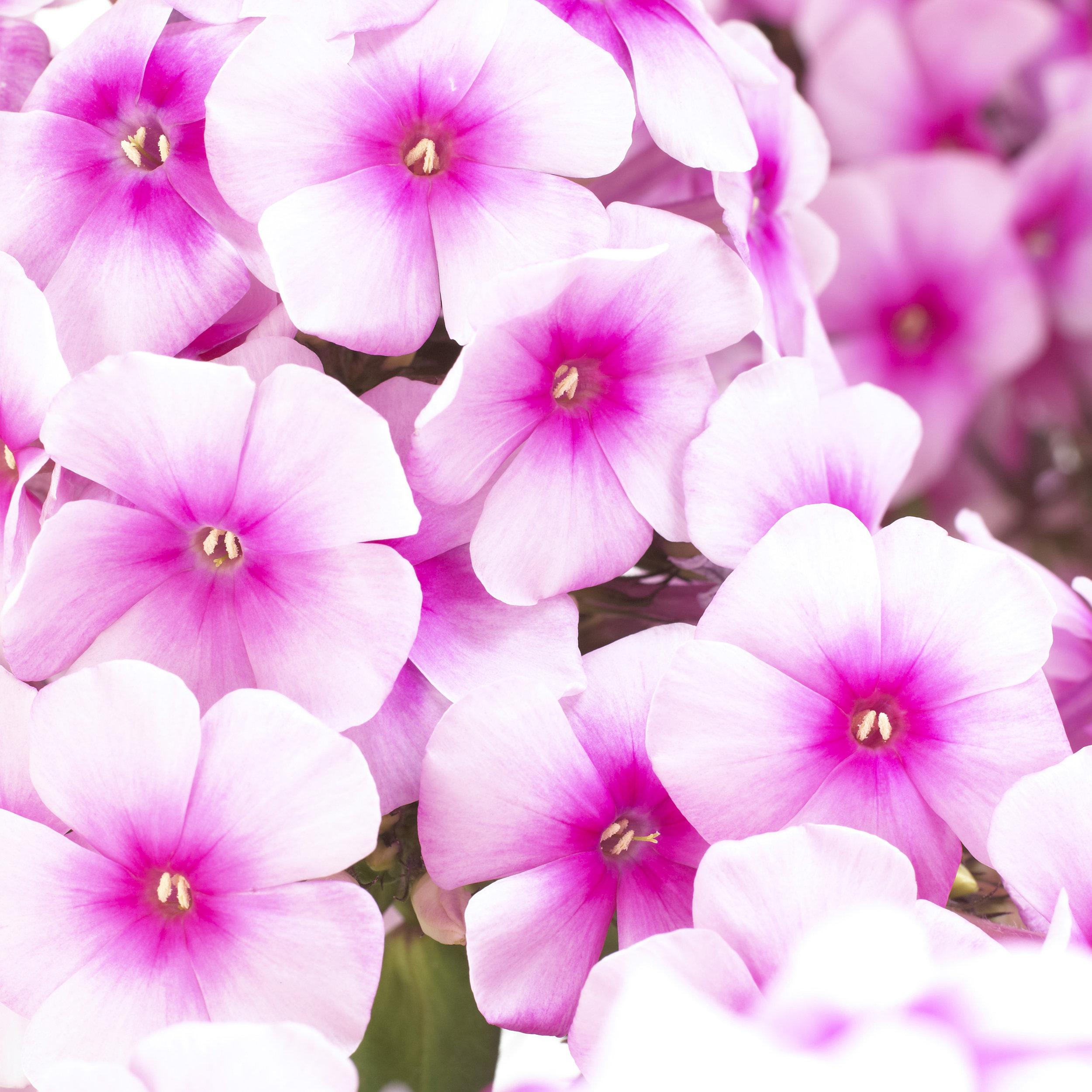 HR_Vegetative_Phlox_Sweet_Summer_Sweet_Summer_Festival__Compact_Rose_Dark_Eye_70028300.jpg