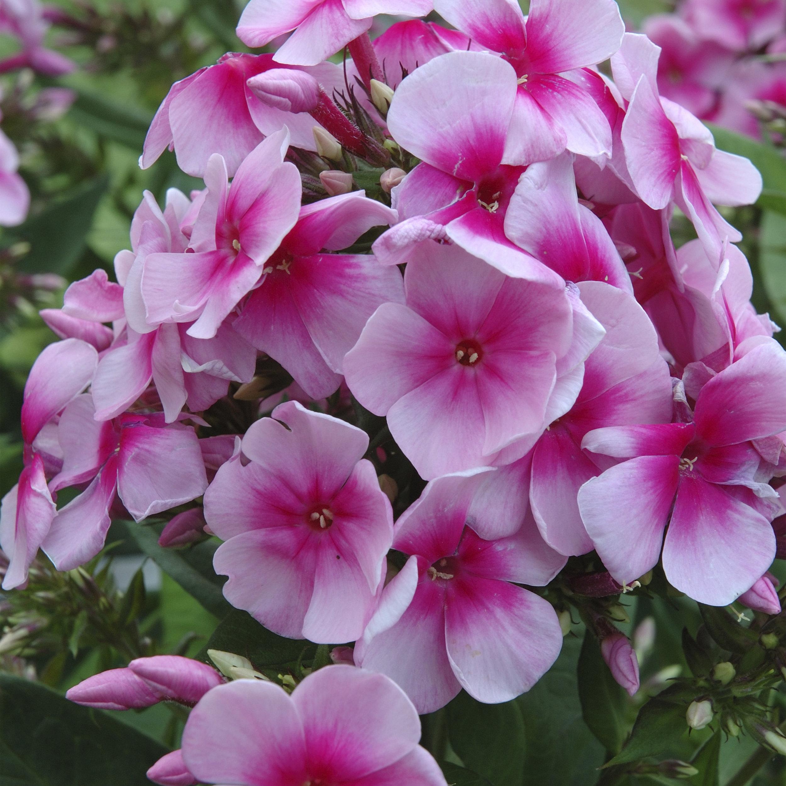 HR_Vegetative_Phlox_Sweet_Summer_Sweet_Summer_Festival__Compact_Rose_Dark_Eye_70028300_1.jpg