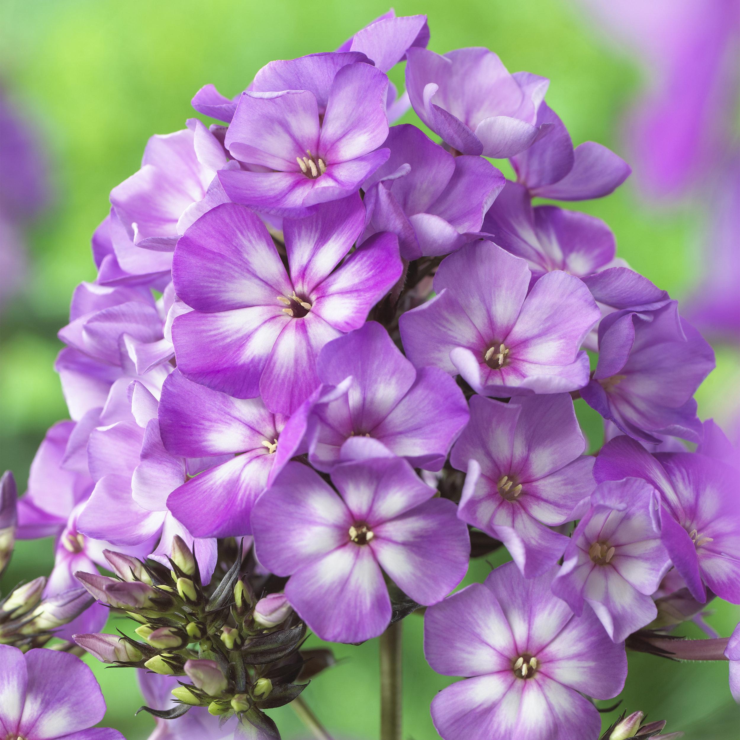 HR_Vegetative_Phlox_Sweet_Summer_Sweet_Summer_Surprise__Violet_White_70028360_1.jpg