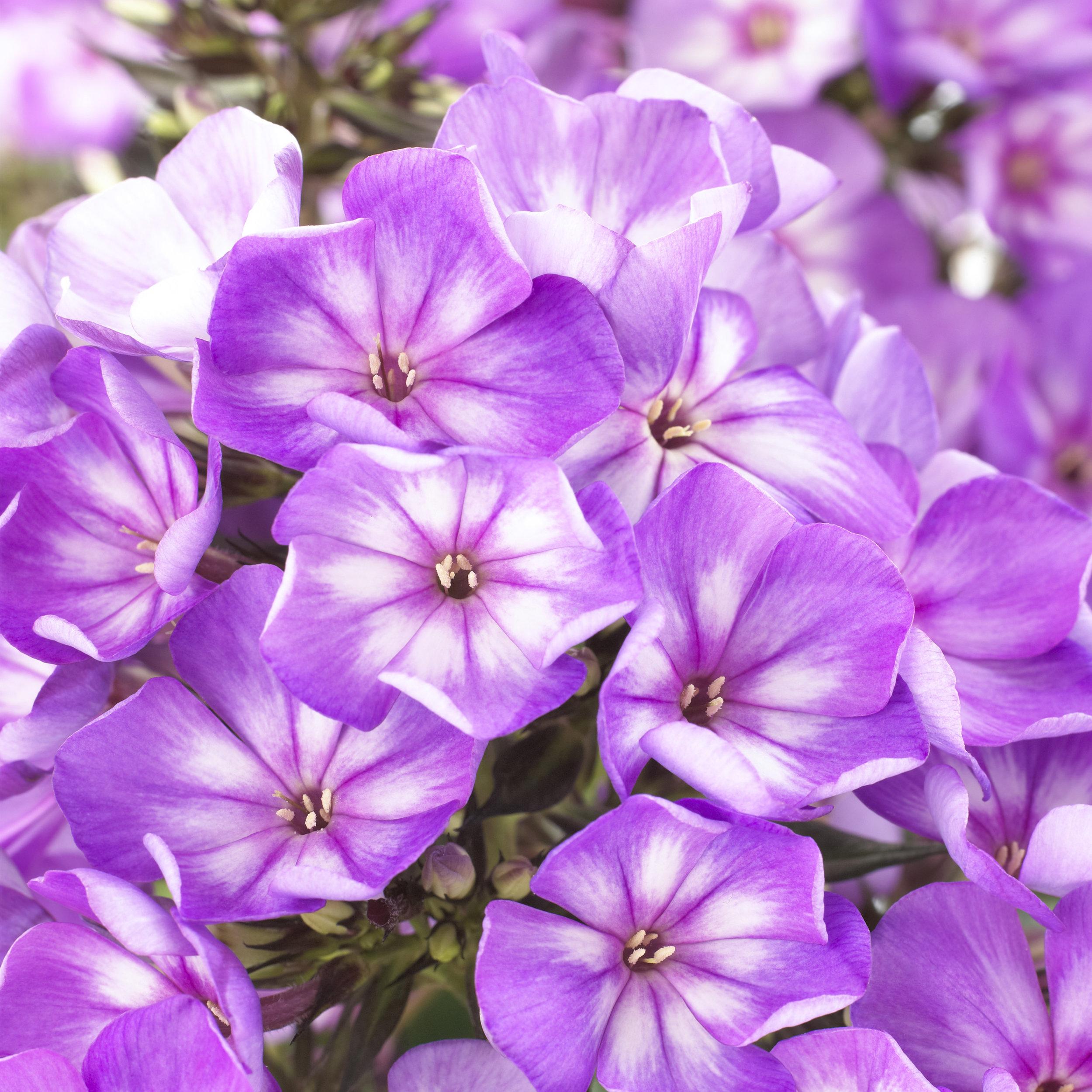 HR_Vegetative_Phlox_Sweet_Summer_Sweet_Summer_Surprise__Violet_White_70028360.jpg