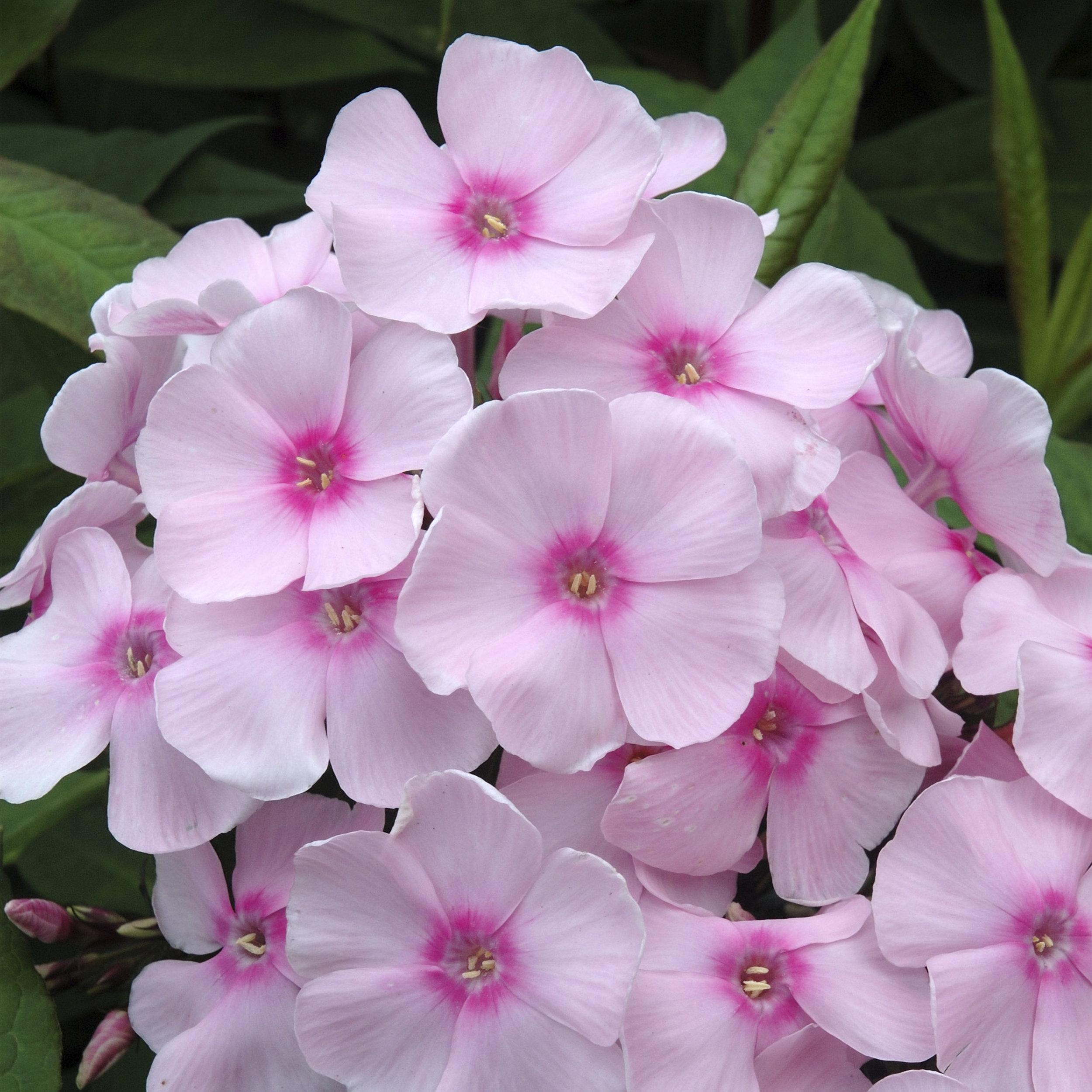 Soft Pink