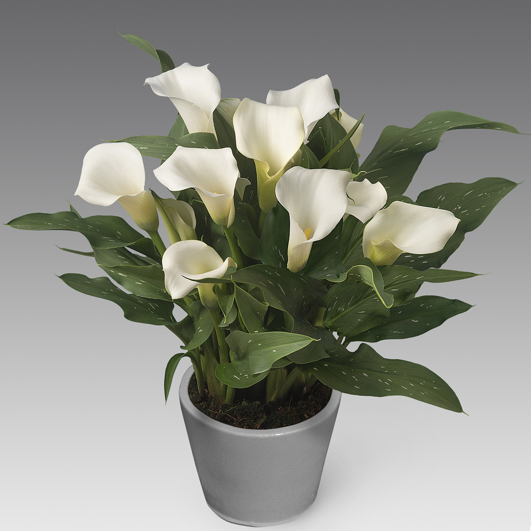 HR_Zantedeschia_Captain_Fresco_03862a.jpg