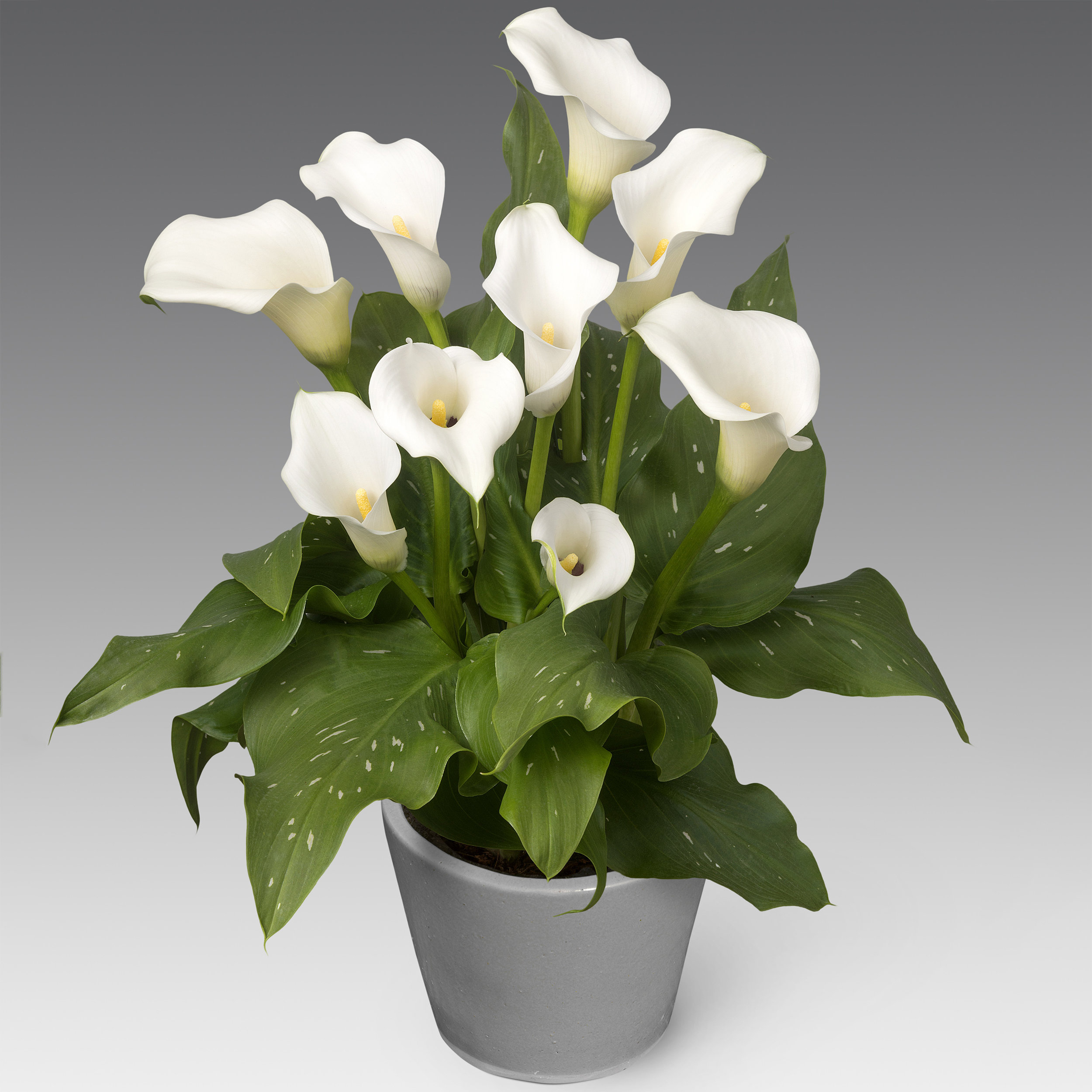 HR_Zantedeschia_Captain_Kelso_03696a.jpg