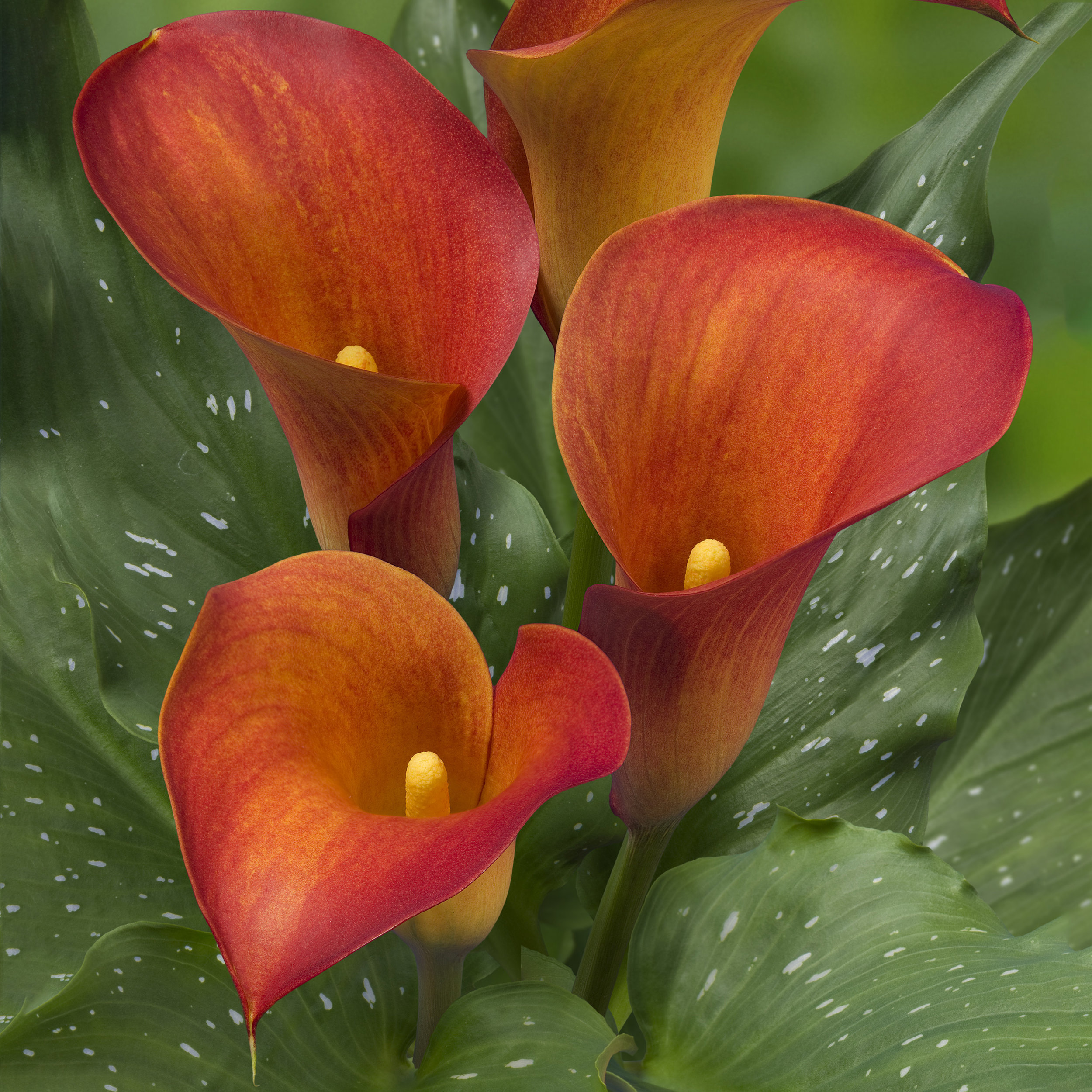 HR_Zantedeschia_Captain_Trinity_02733.jpg