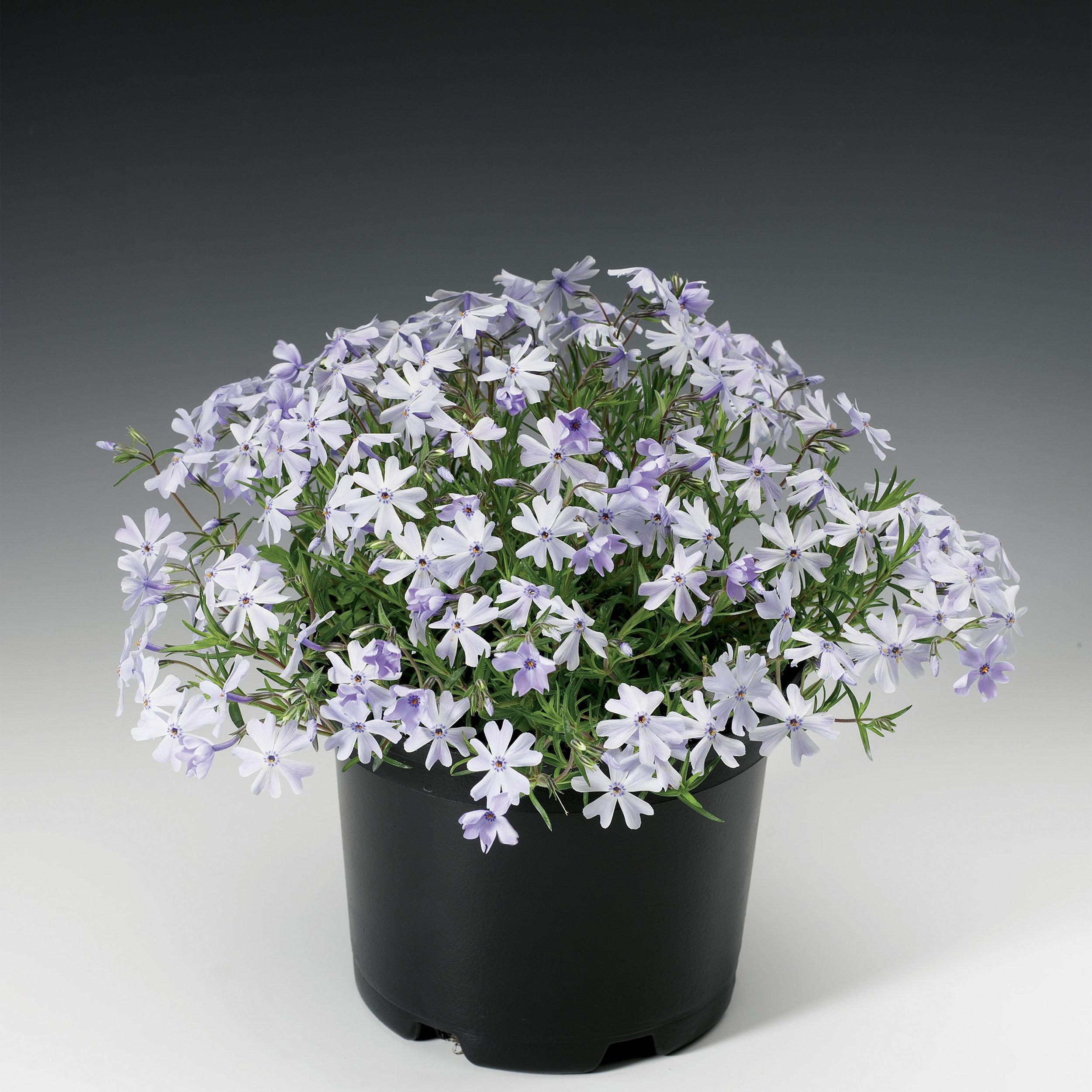 HR_Vegetative_Phlox_Emerald_Cushion_Emerald_Cushion_Blue_70004206_1.jpg