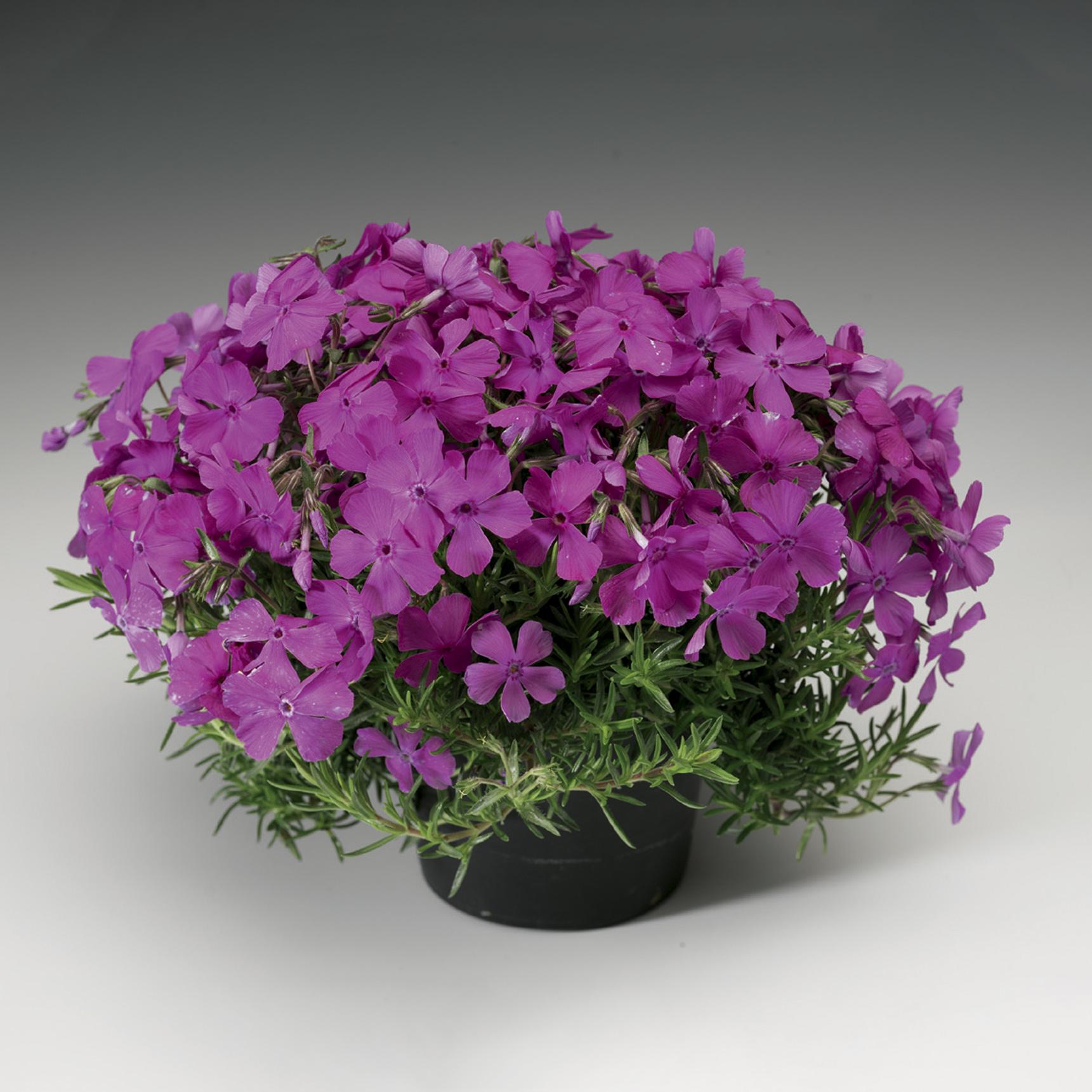 HR_Vegetative_Phlox_Mc_Daniels_Cushion_Mc_Daniels_Cushion_70004207.jpg