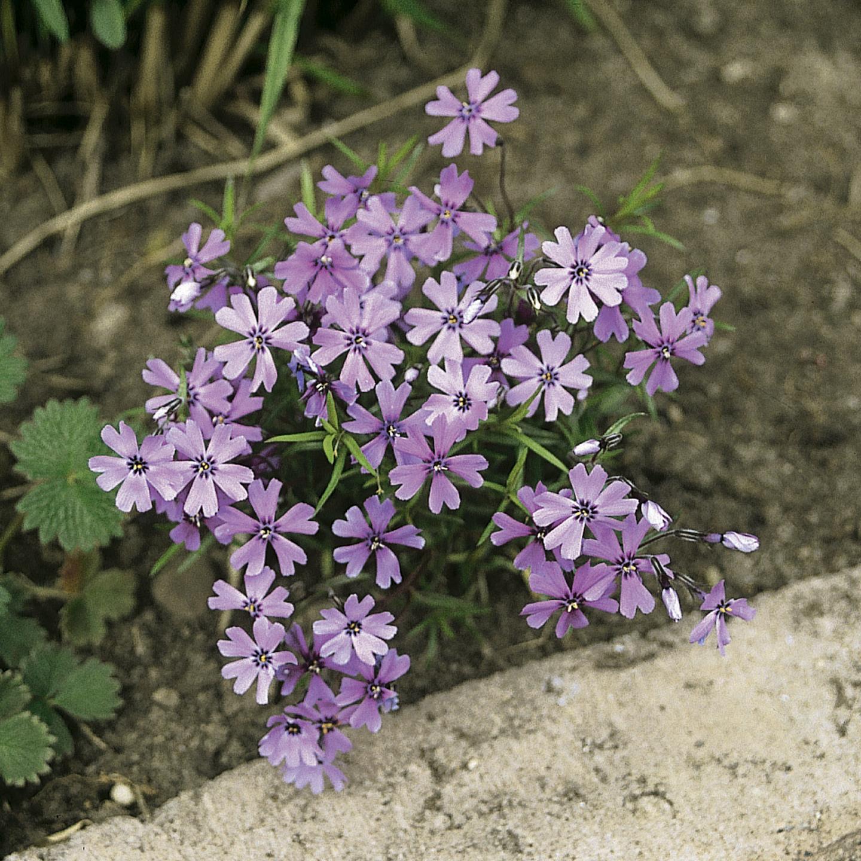 HR_Vegetative_Phlox_Purple_Beauty_Purple_Beauty_70004212.jpg