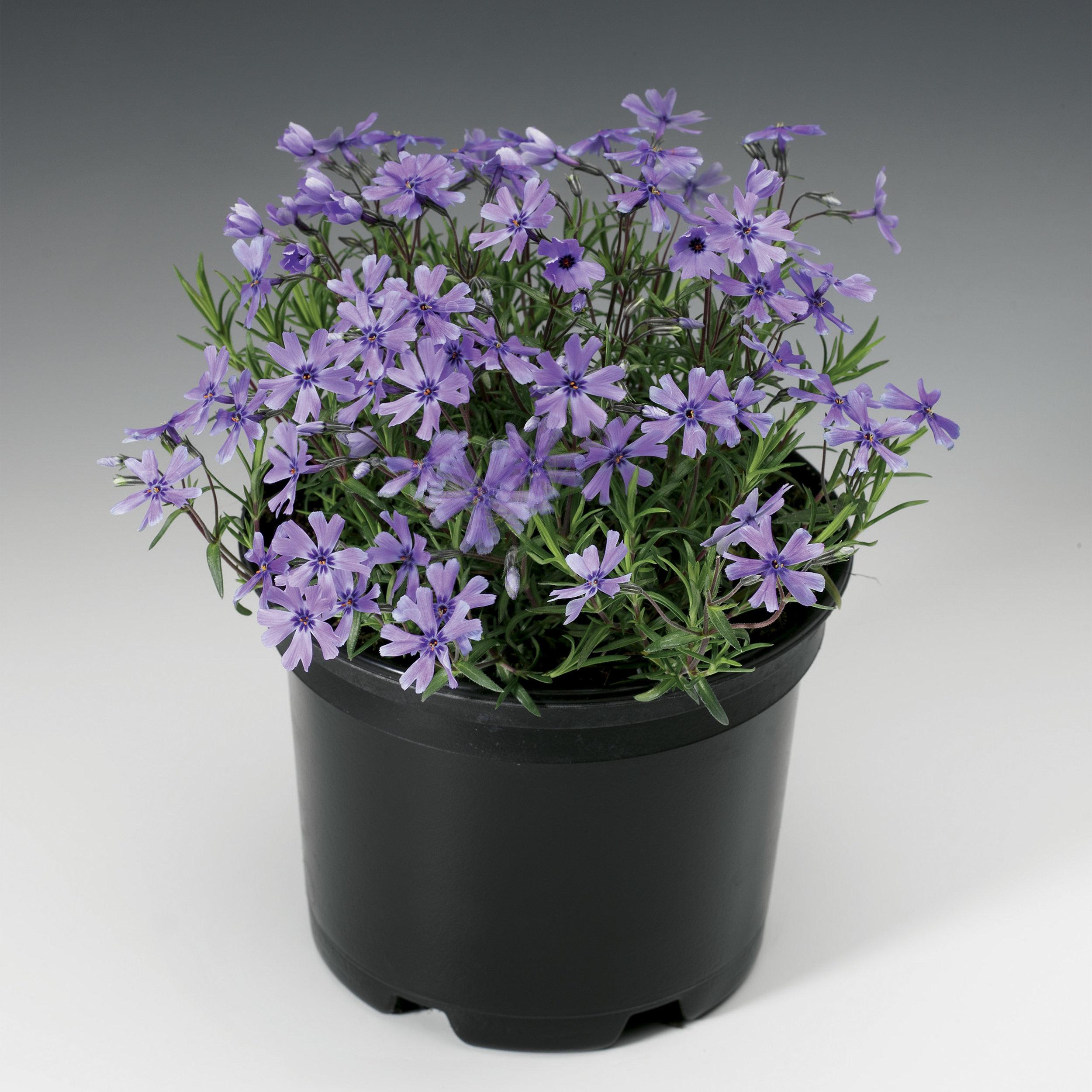HR_Vegetative_Phlox_Purple_Beauty_Purple_Beauty_70004212_1.jpg