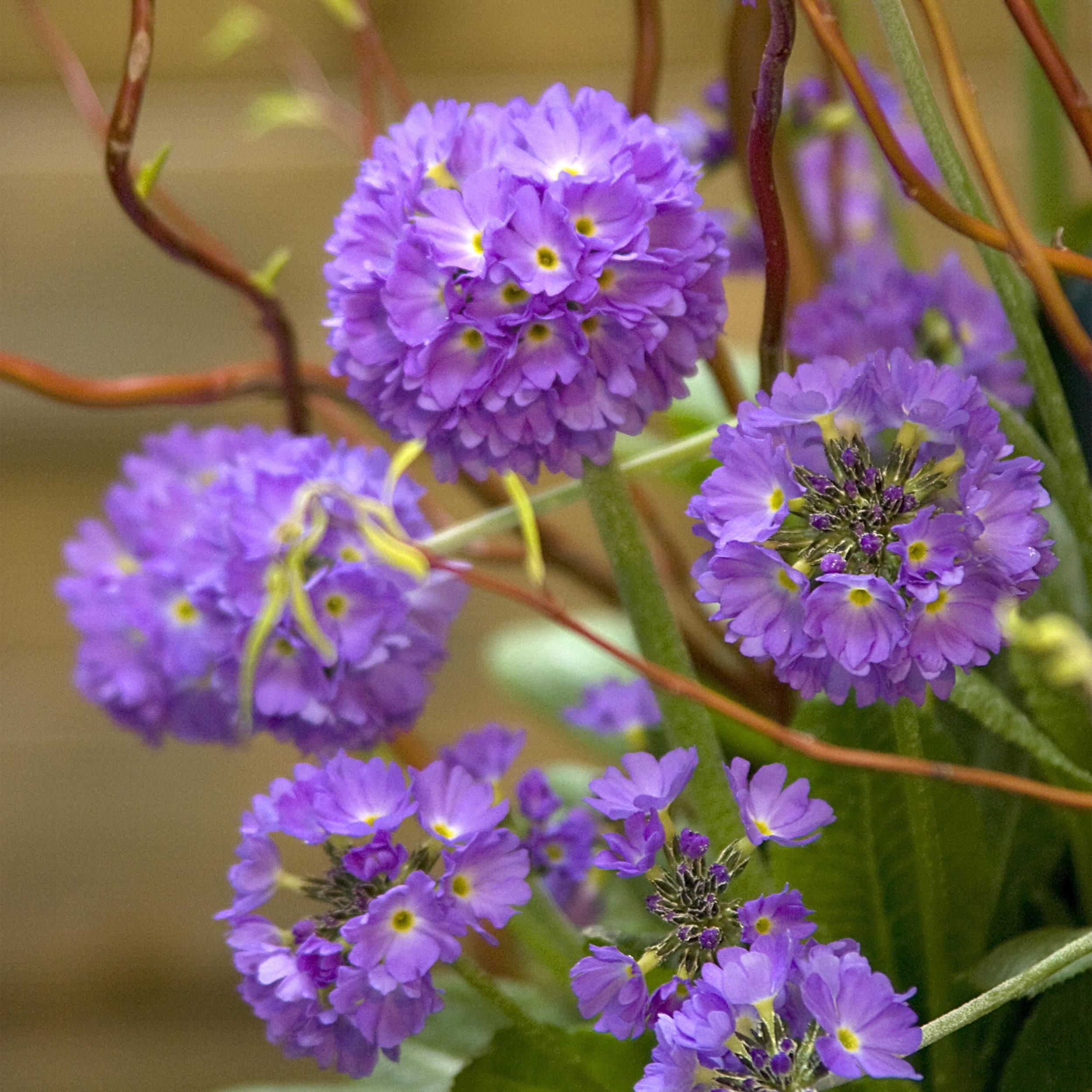 HR_Seed_Primula_Corolla__Corolla__Blue_70001241_1.jpg