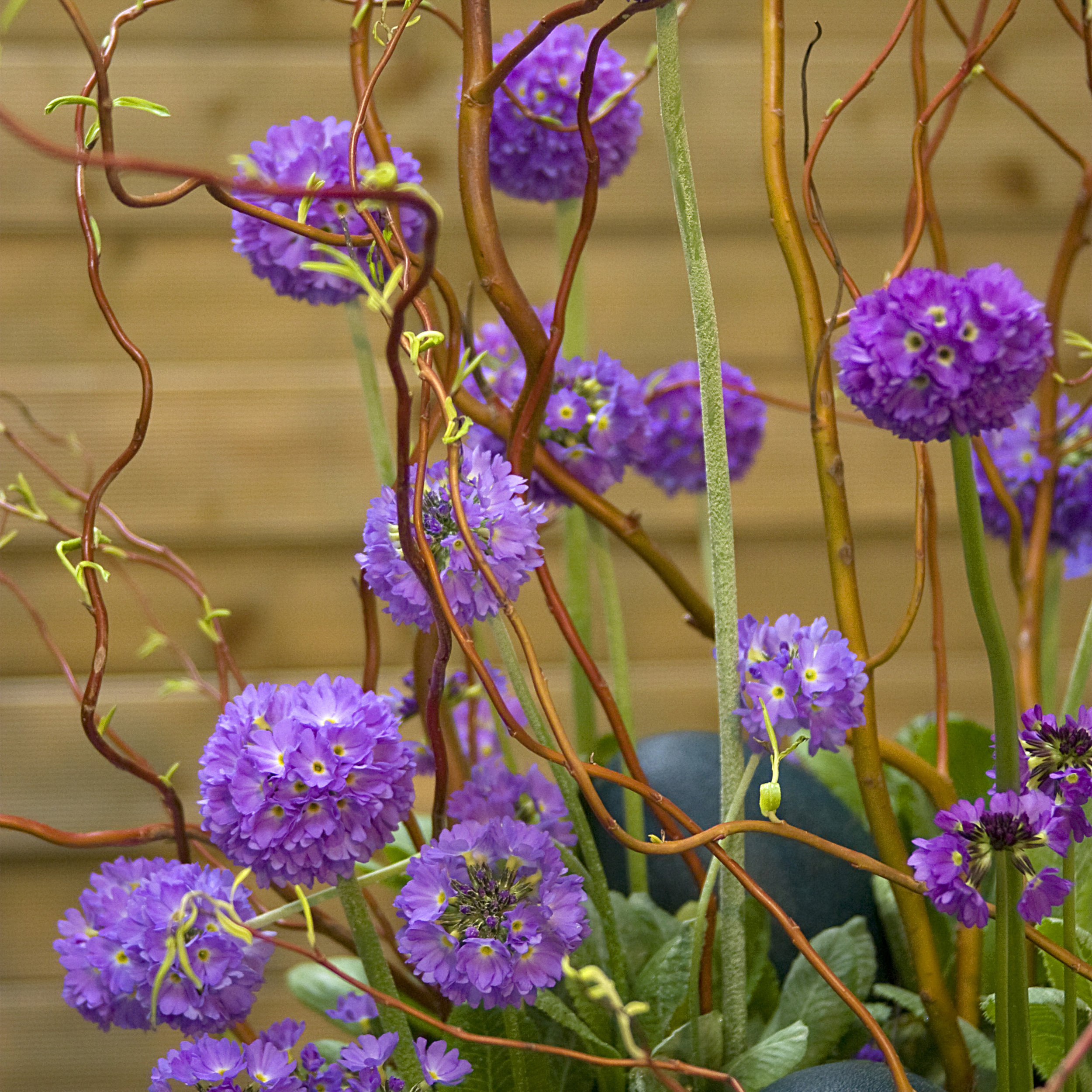 HR_Seed_Primula_Corolla__Corolla__Blue_70001241_3.jpg