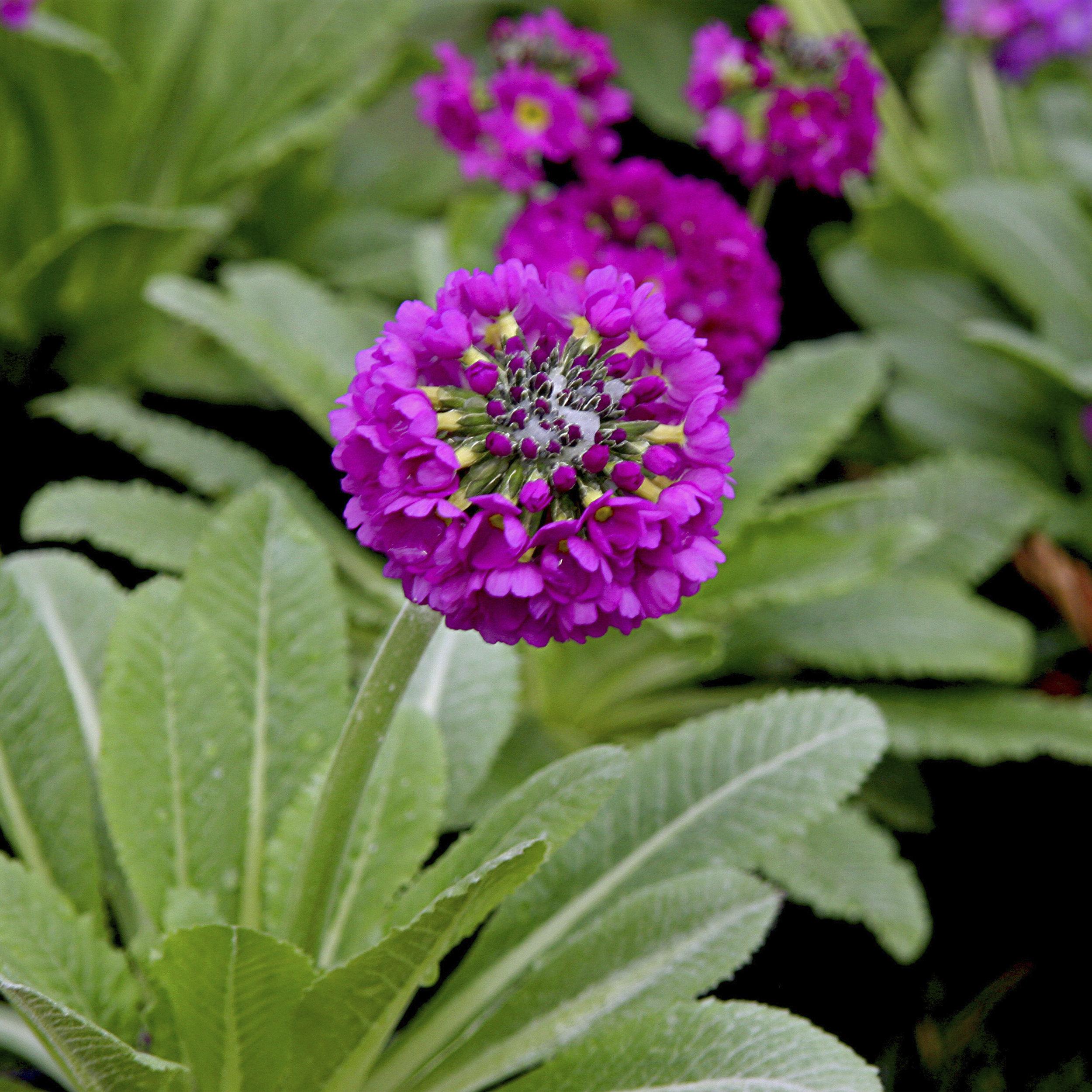HR_Seed_Primula_Corolla__Corolla__Deep_Rose_70001240_1.jpg