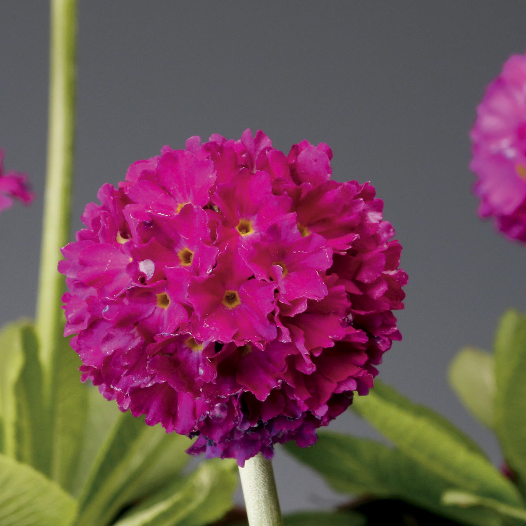 HR_Seed_Primula_Corolla__Corolla__Deep_Rose_70001240_2.jpg