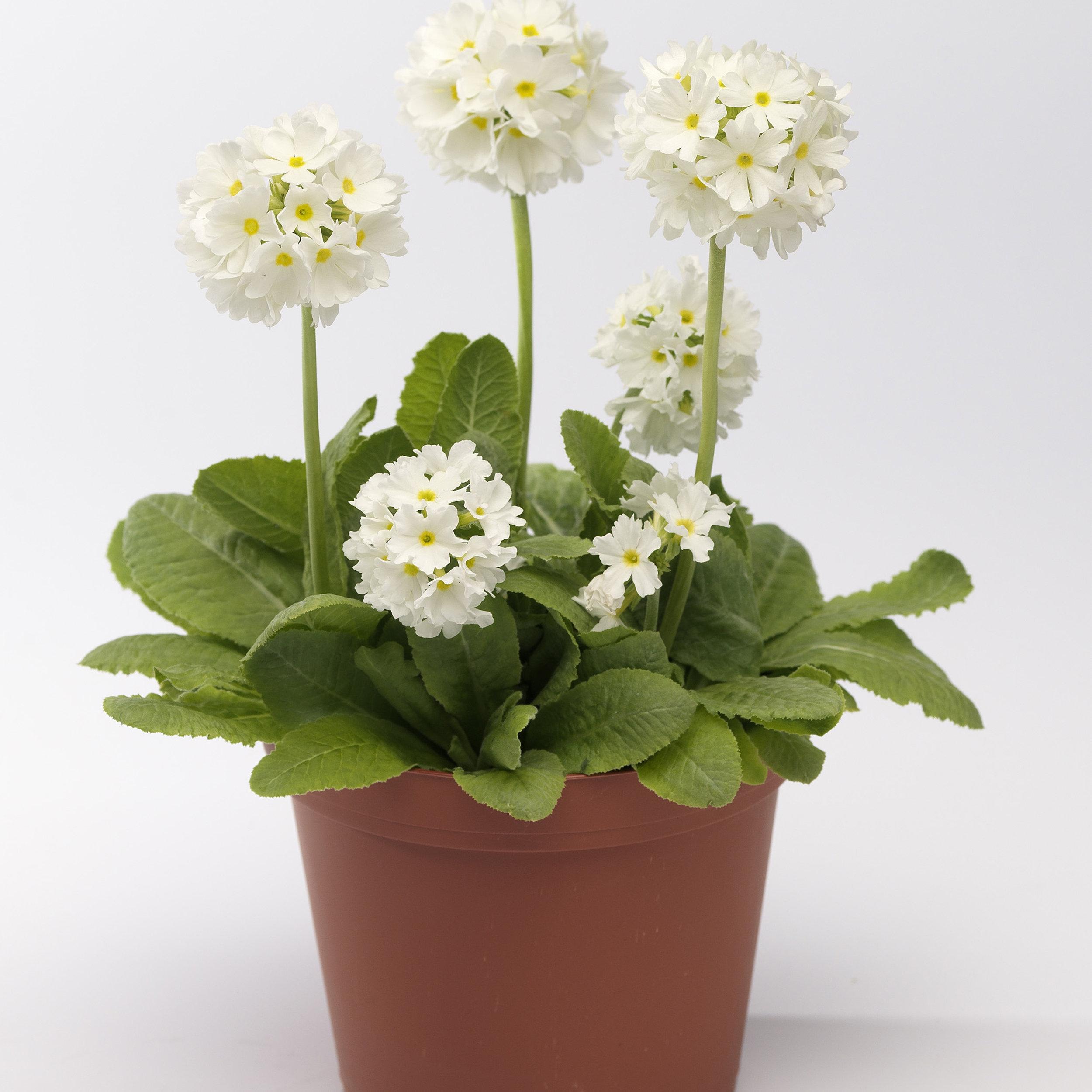 HR_Seed_Primula_Corolla__Corolla__White_70001239.jpg