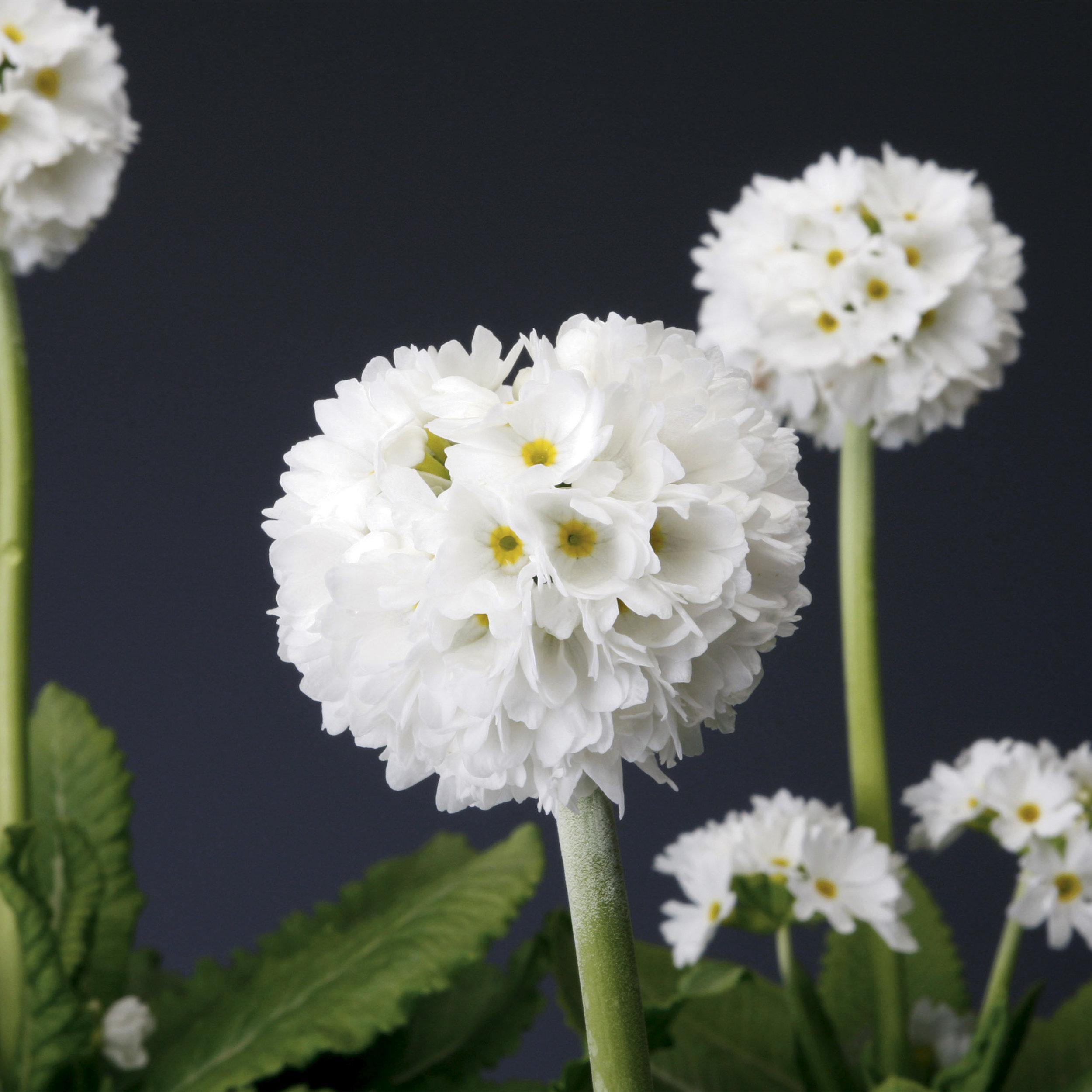 HR_Seed_Primula_Corolla__Corolla__White_70001239_1.jpg