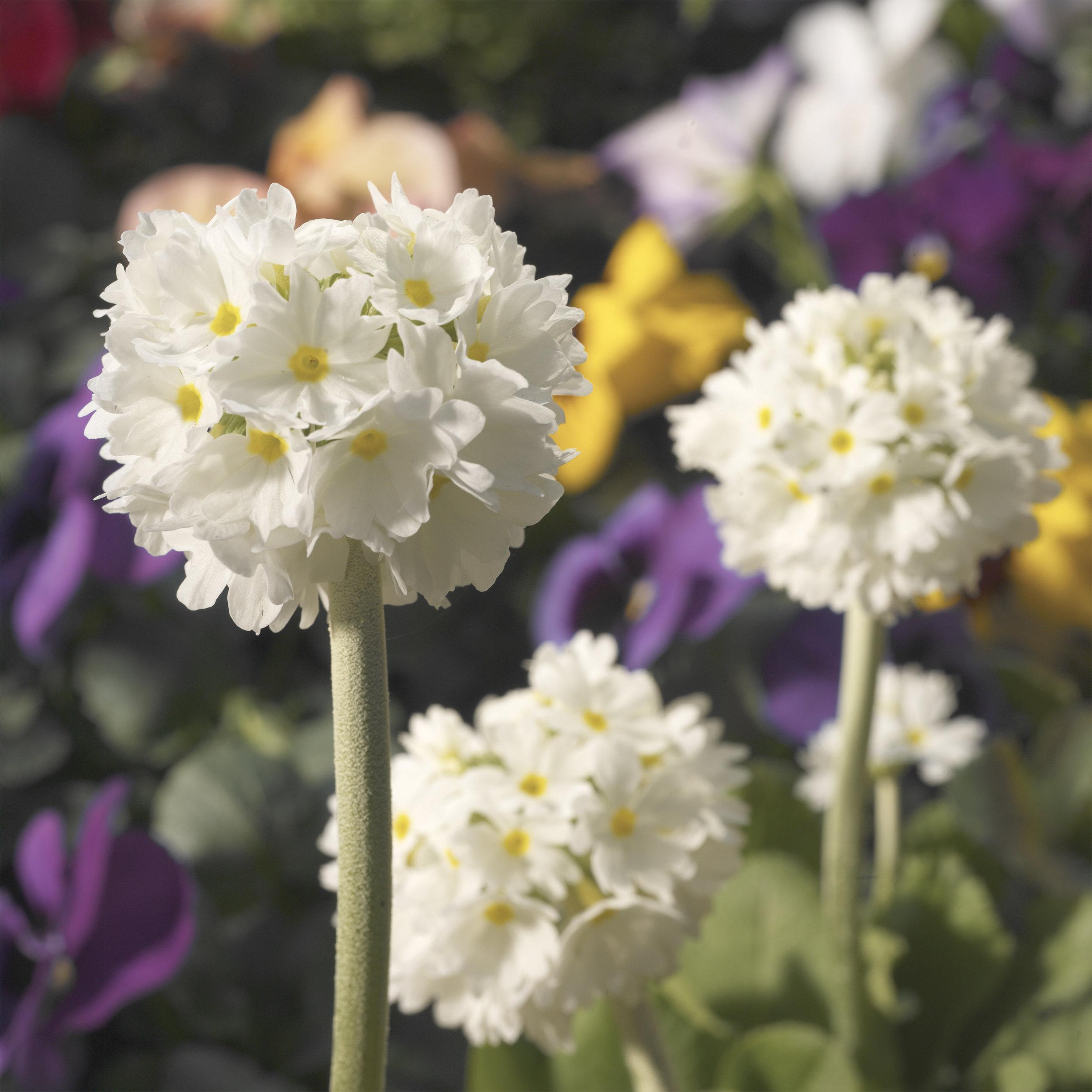 HR_Seed_Primula_Corolla__Corolla__White_70001239_3.jpg