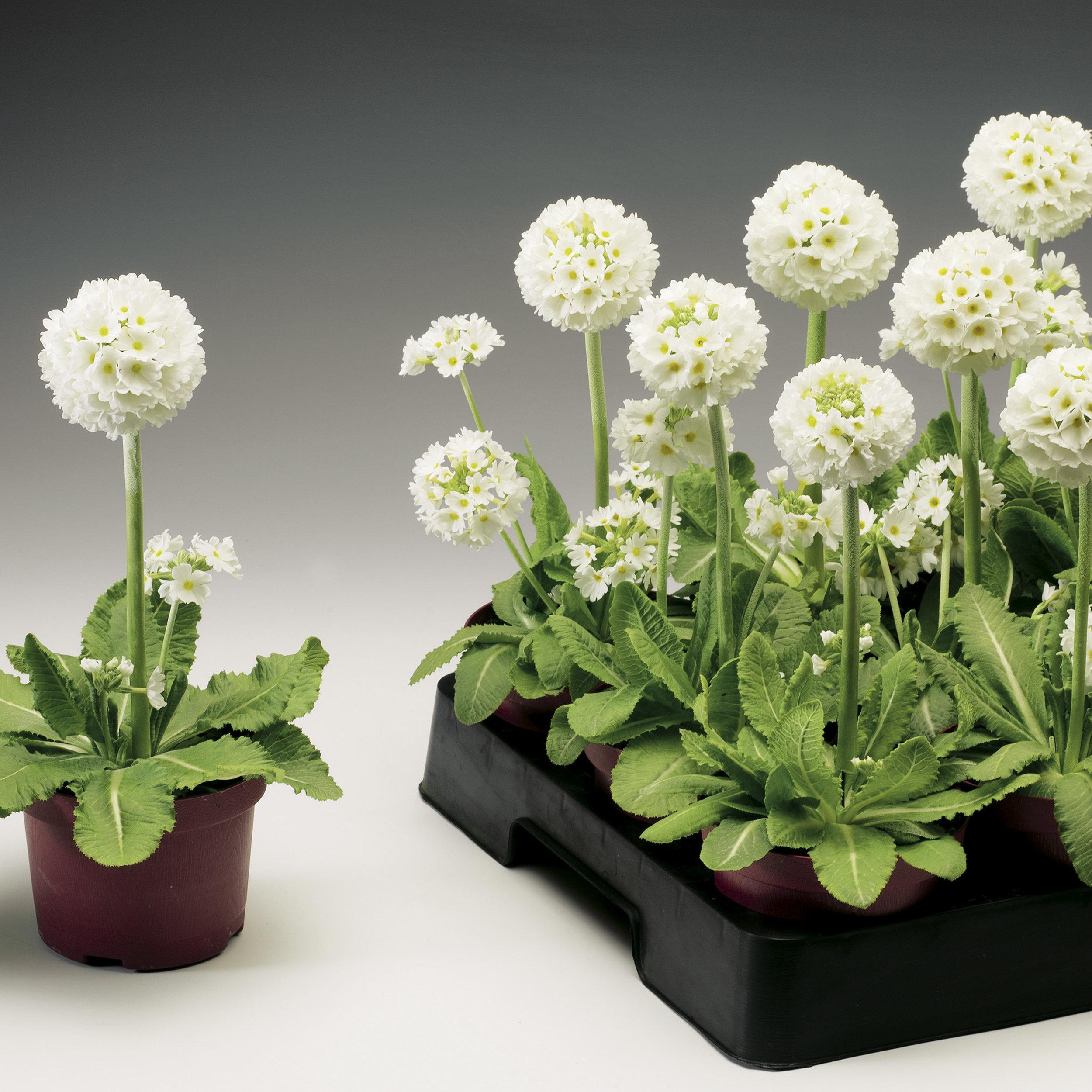HR_Seed_Primula_Corolla__Corolla__White_70001239_2.jpg