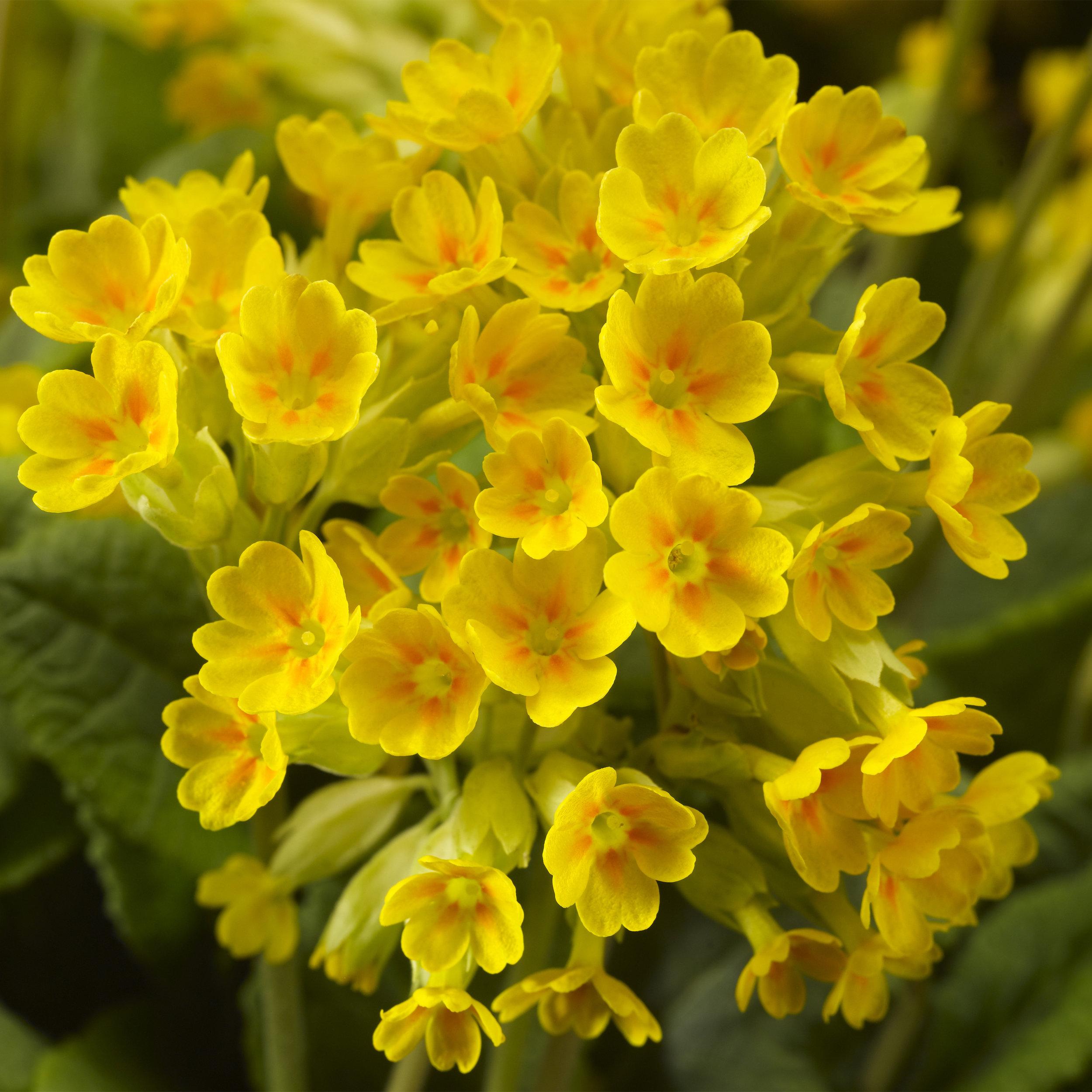 HR_Seed_Primula_Cabrillo__Cabrillo__Dark_Yellow_70020152.jpg