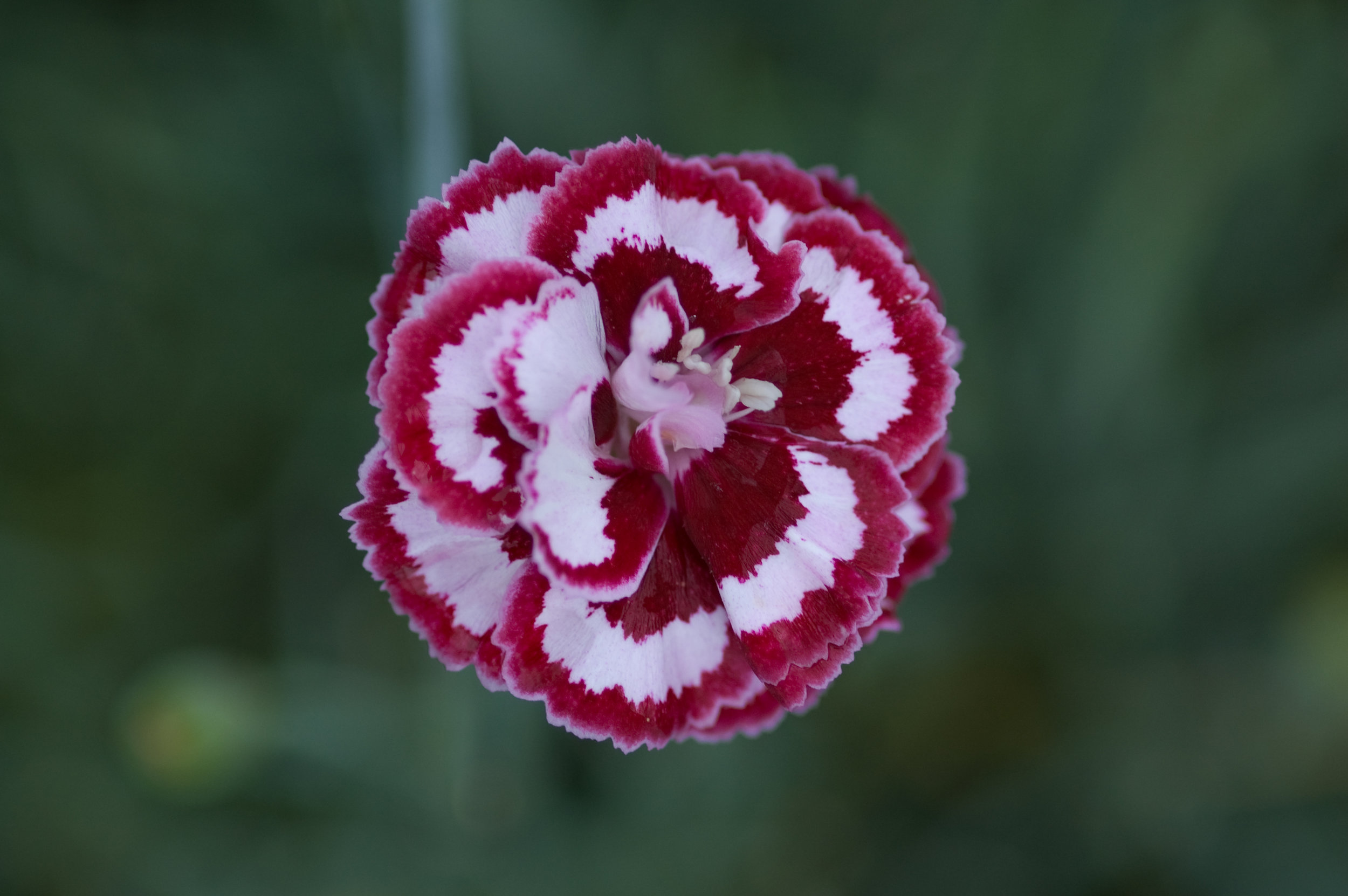 Dianthus Angel of Forgivness (2).jpg