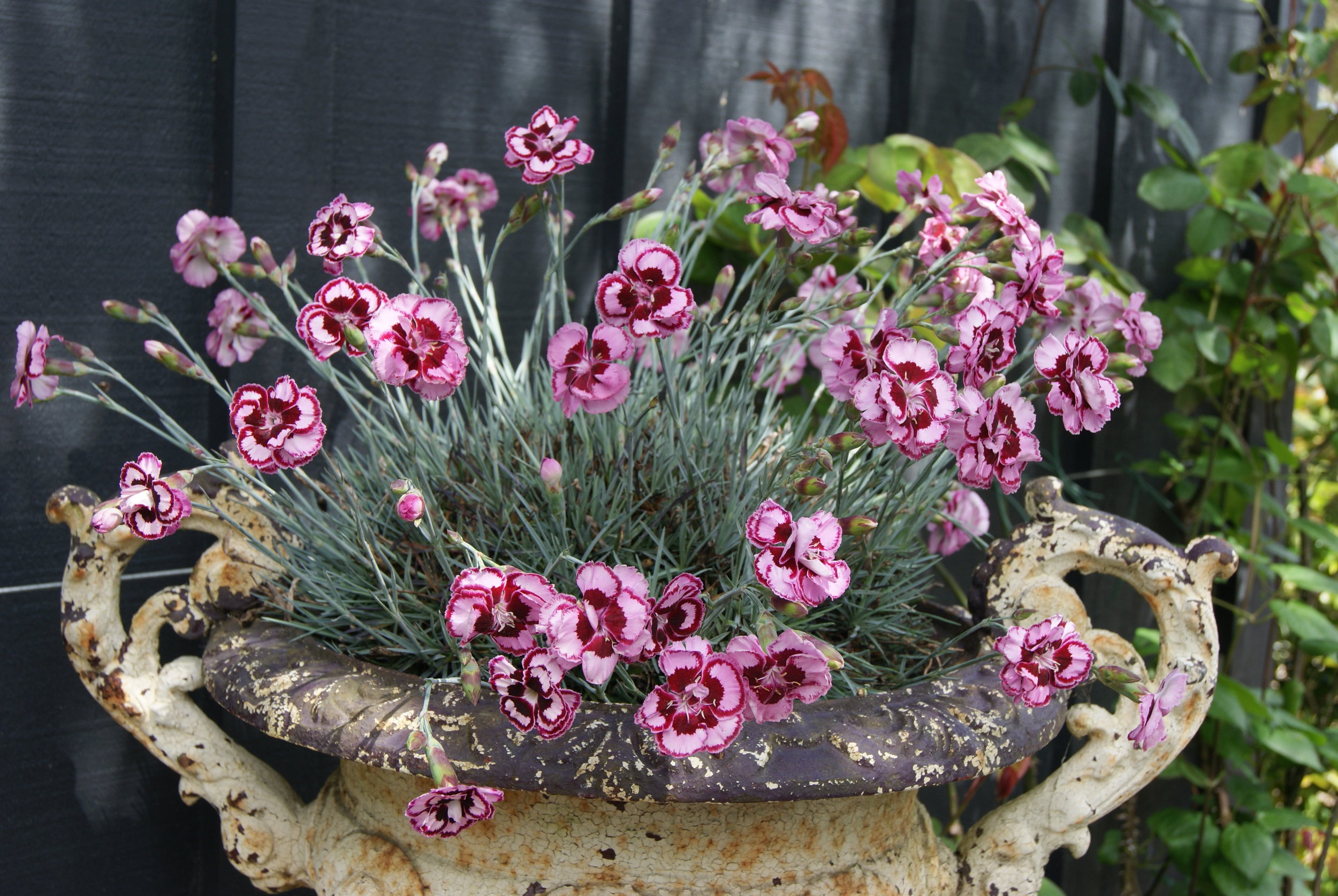 Dianthus Angel of Forgiveness (1).JPG