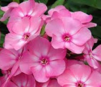 Phlox+paniculata+Sweet+Summer™+Rose+Compact+Rose.jpg