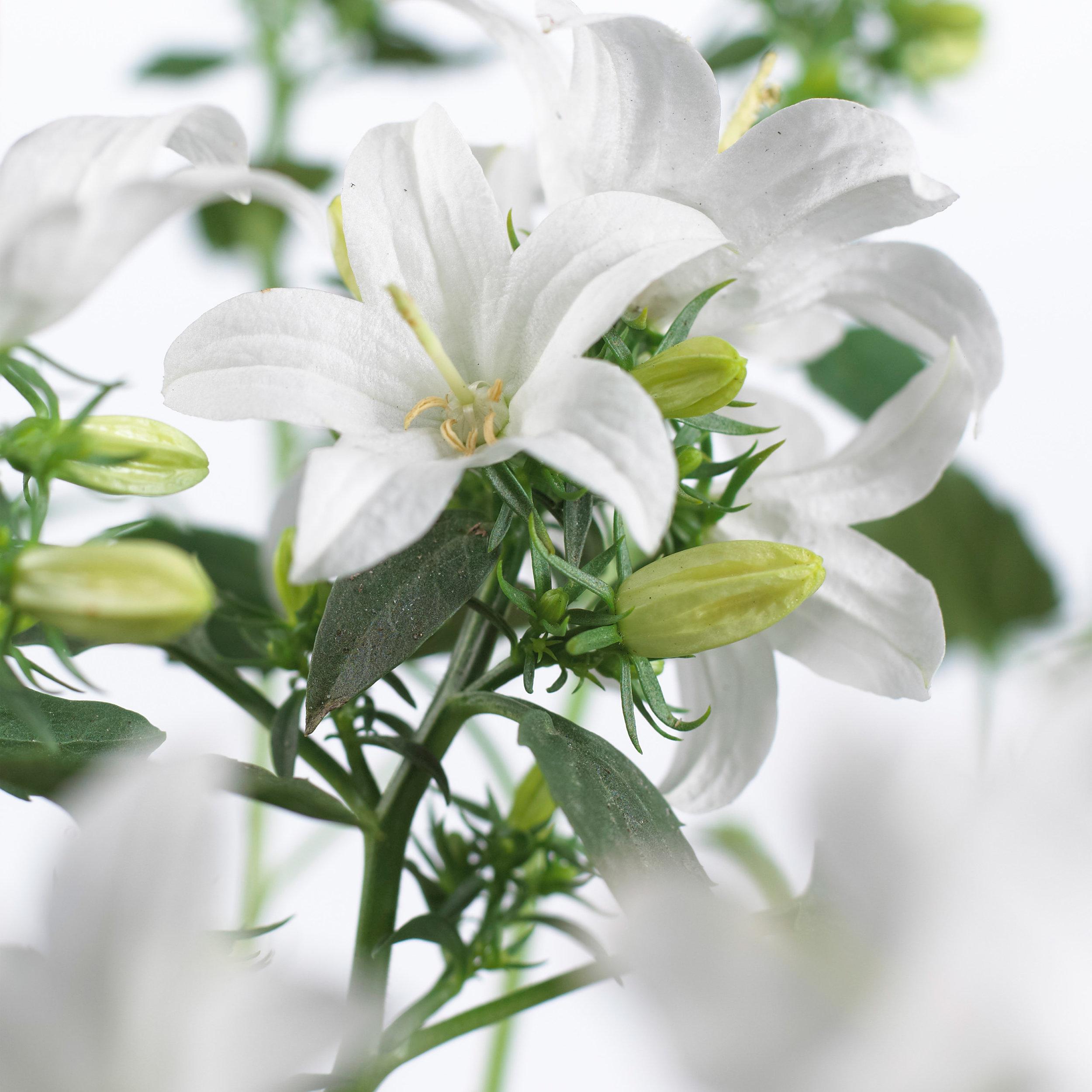 Campanula Spring Bell 2.0 White.jpg
