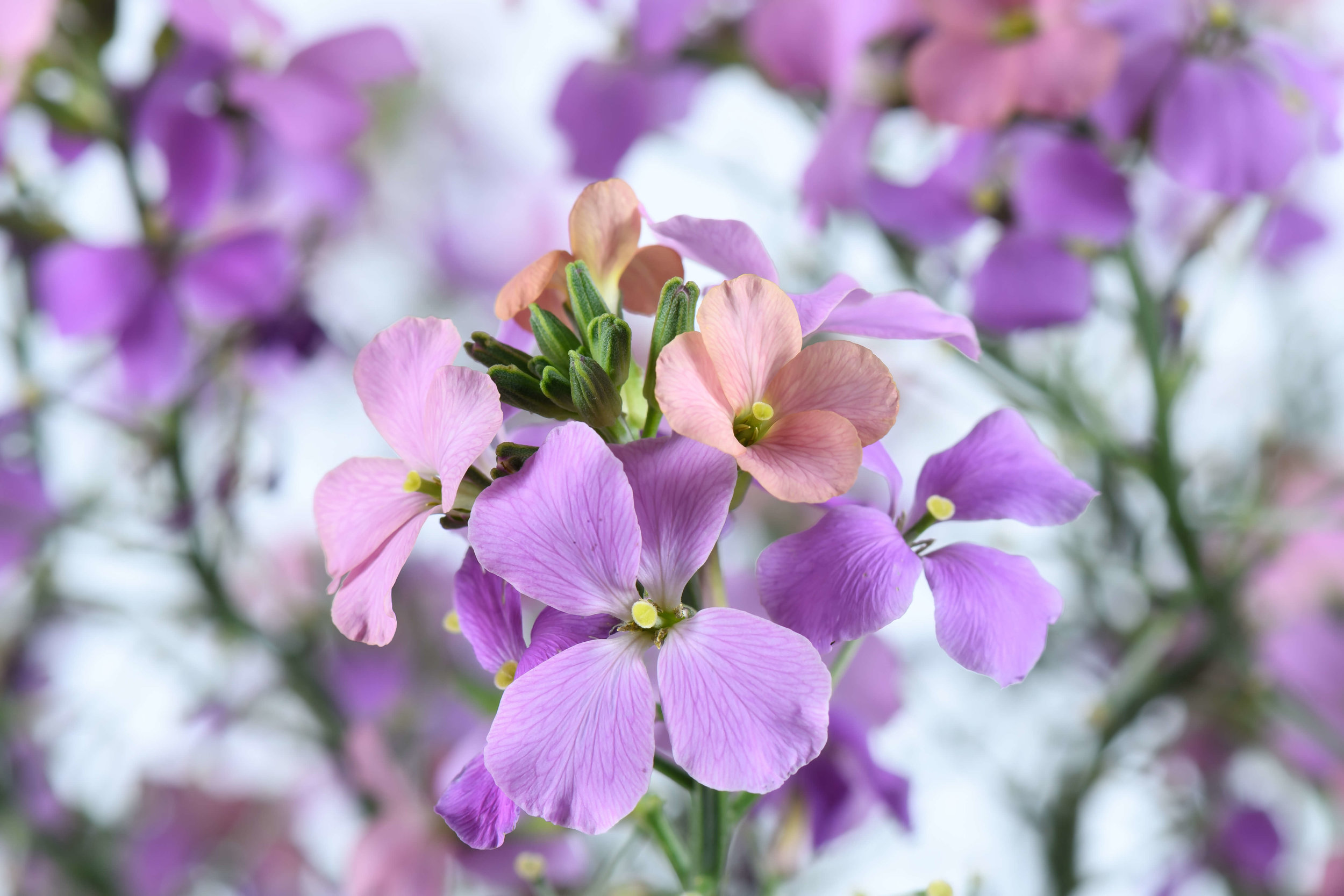 Bicolor Purple