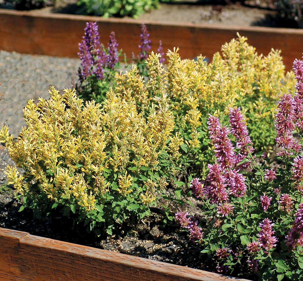 Agastache-Poquito-Butter-Yellow-3.jpg