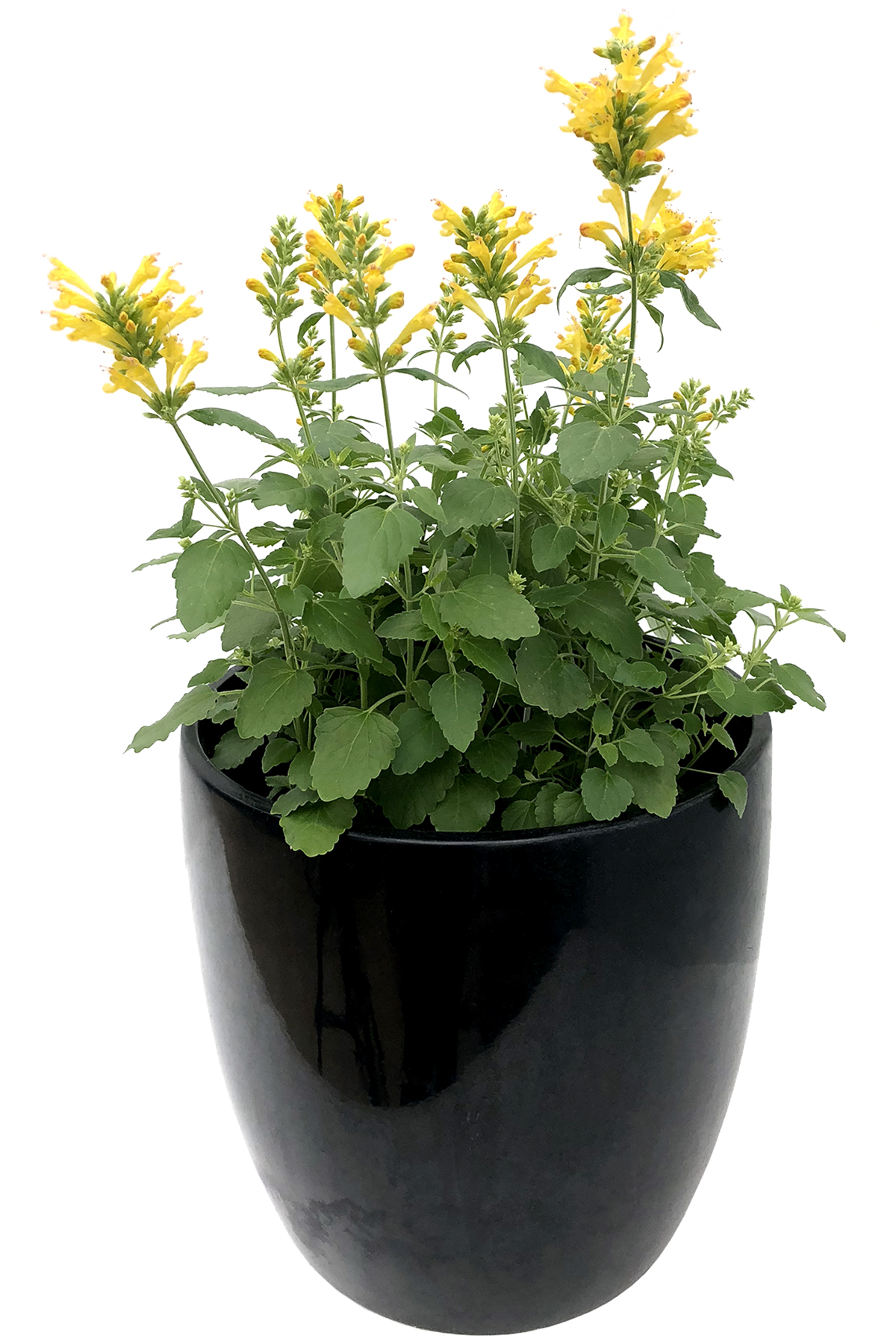Agastache-Poquito-Butter-Yellow-5.jpg