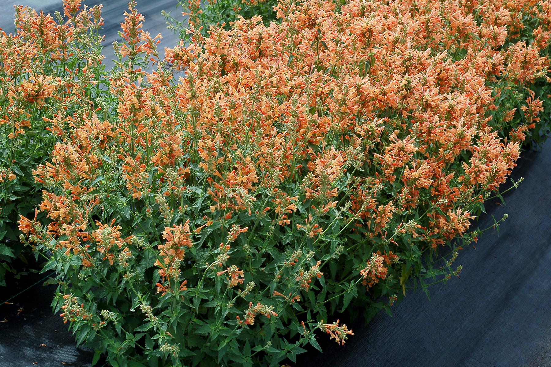 Agastache-Poquito-Orange-2.jpg