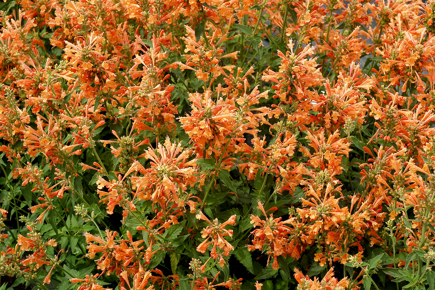 Agastache-Poquito-Orange-3.jpg